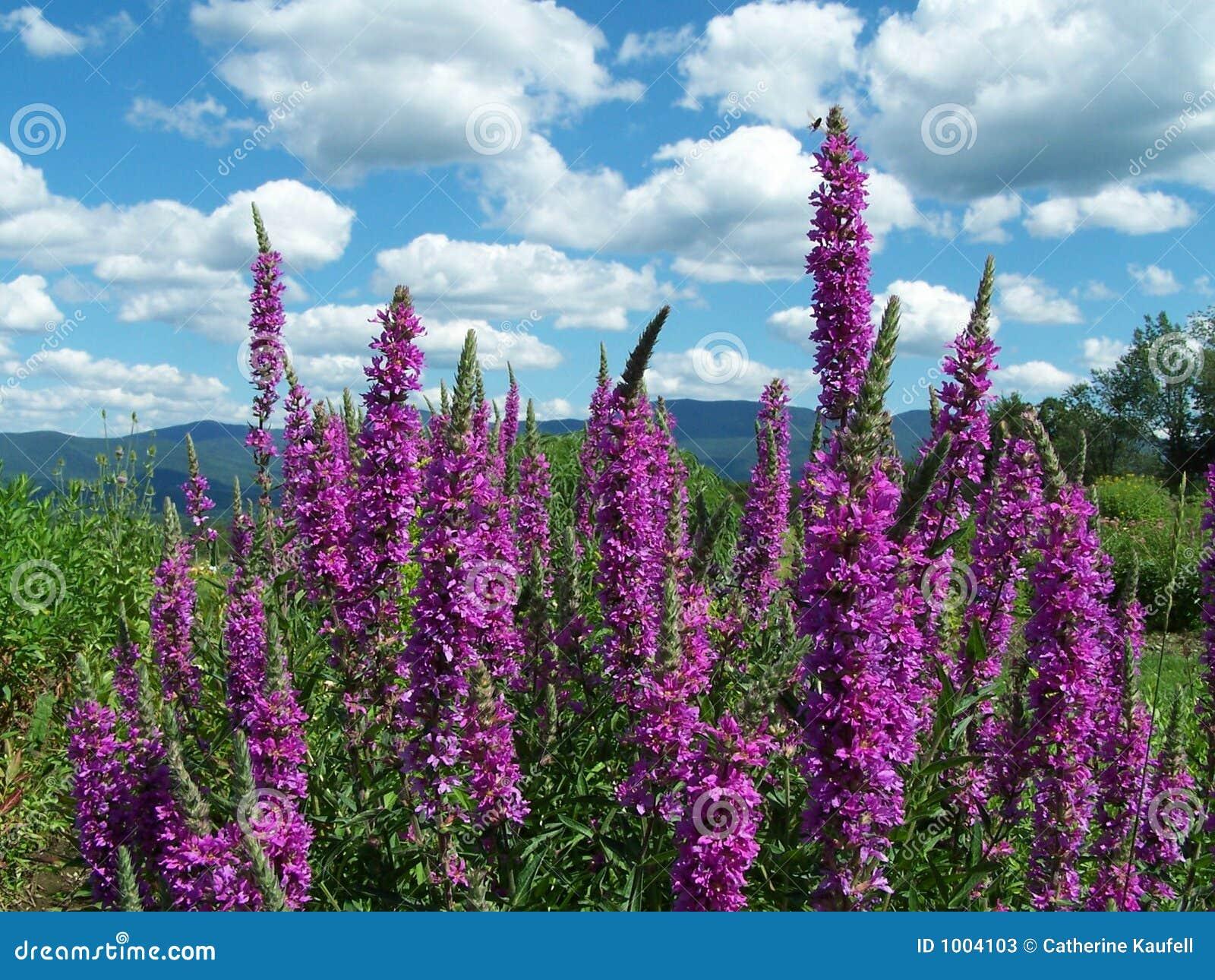 Blomma purpura piggar