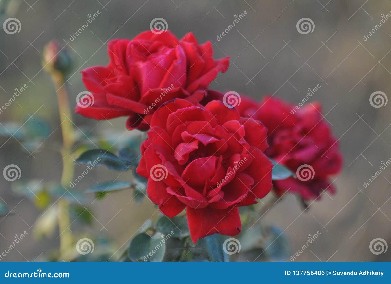 Blomma röda rosor som sågar lycka och fred