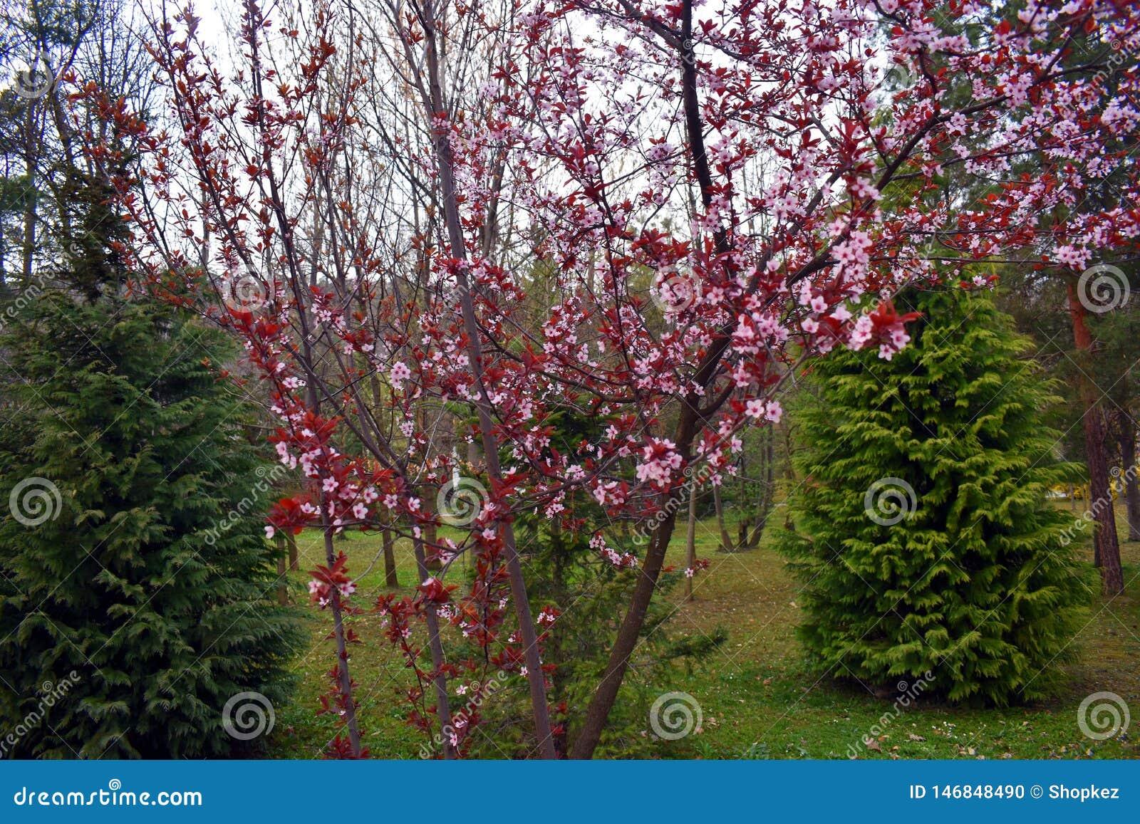 Blomma rosa blommor för persika på vårtiden