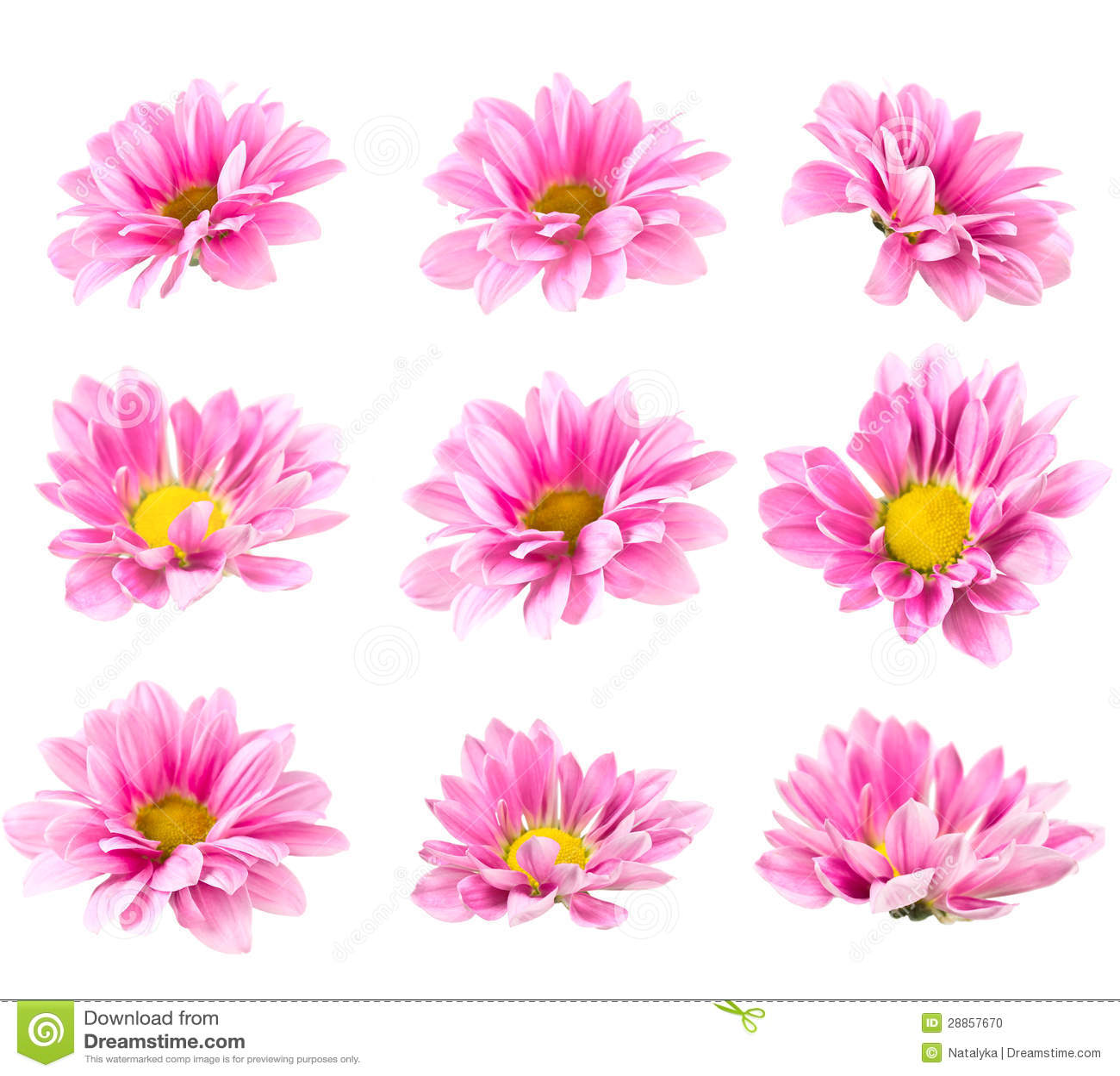 Blomma rosa chrysanthemum för Collage