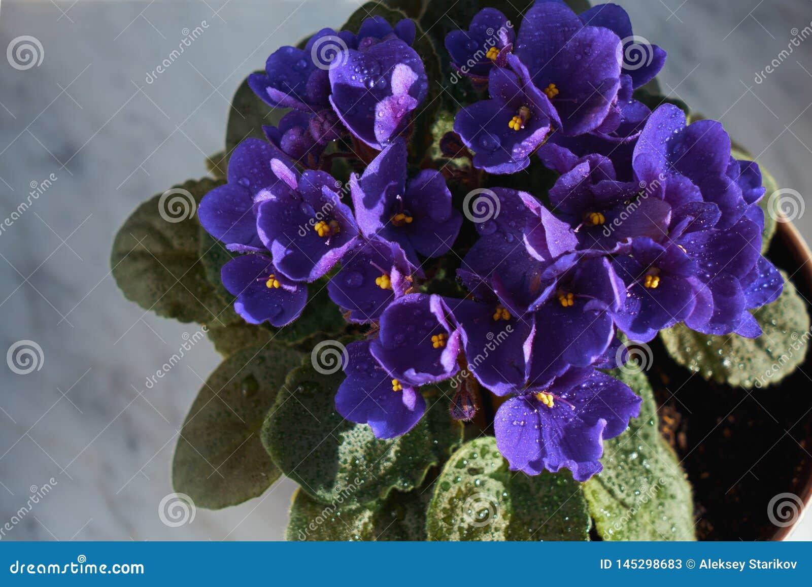 Blomma som är violett i en kruka på marmorfönsterbrädan