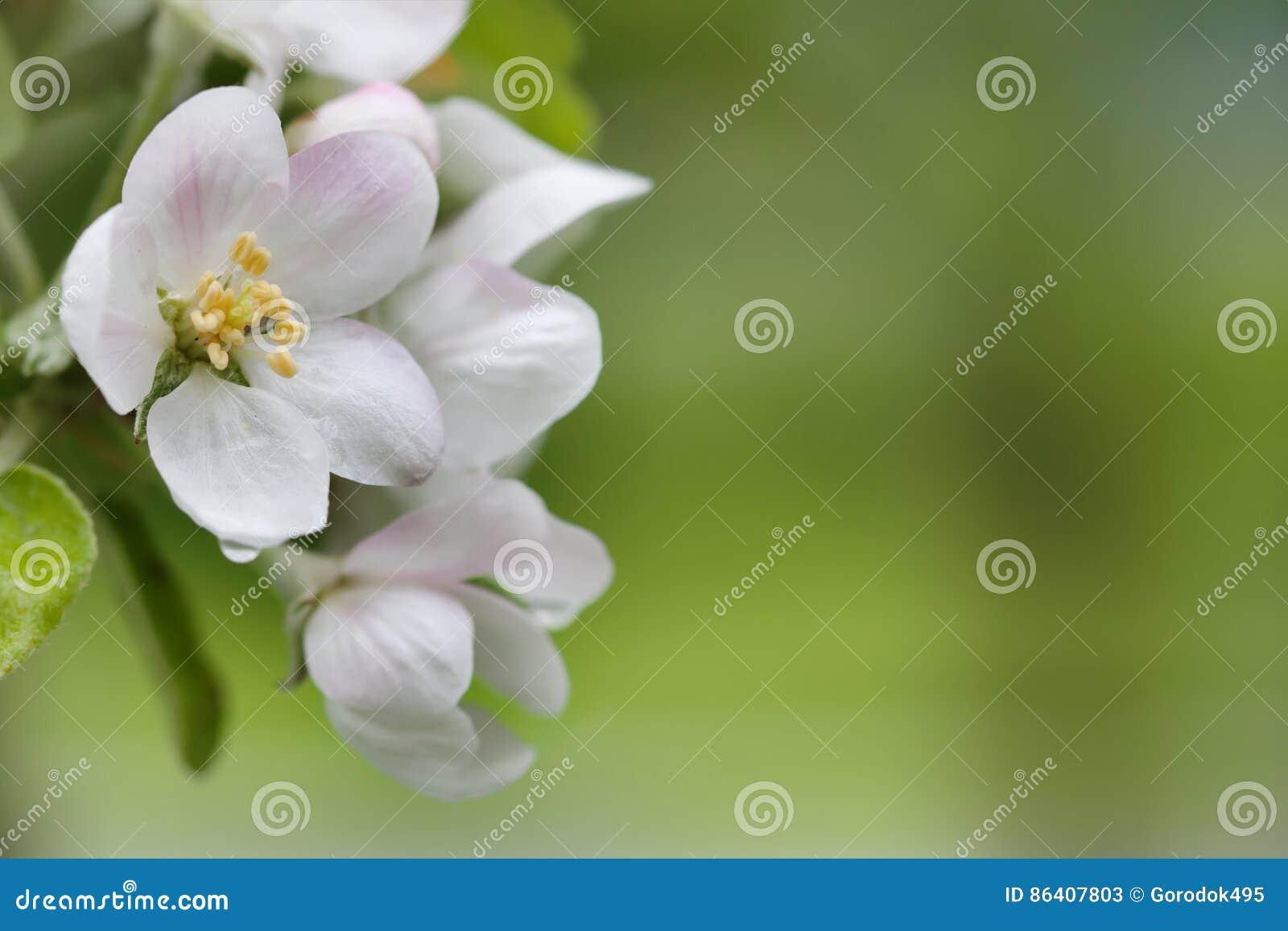 Blomma tree för äpple Vita blommor för makrosikt Vårnaturlandskap slapp bakgrund