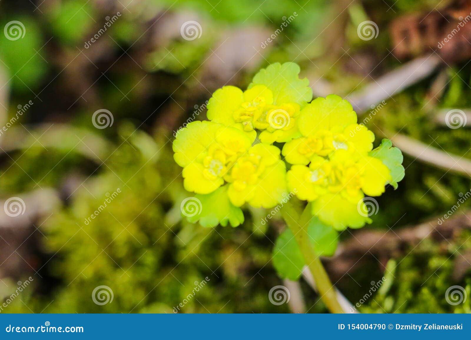 Blomma vit senap, sinapisalbum, blommor, natur