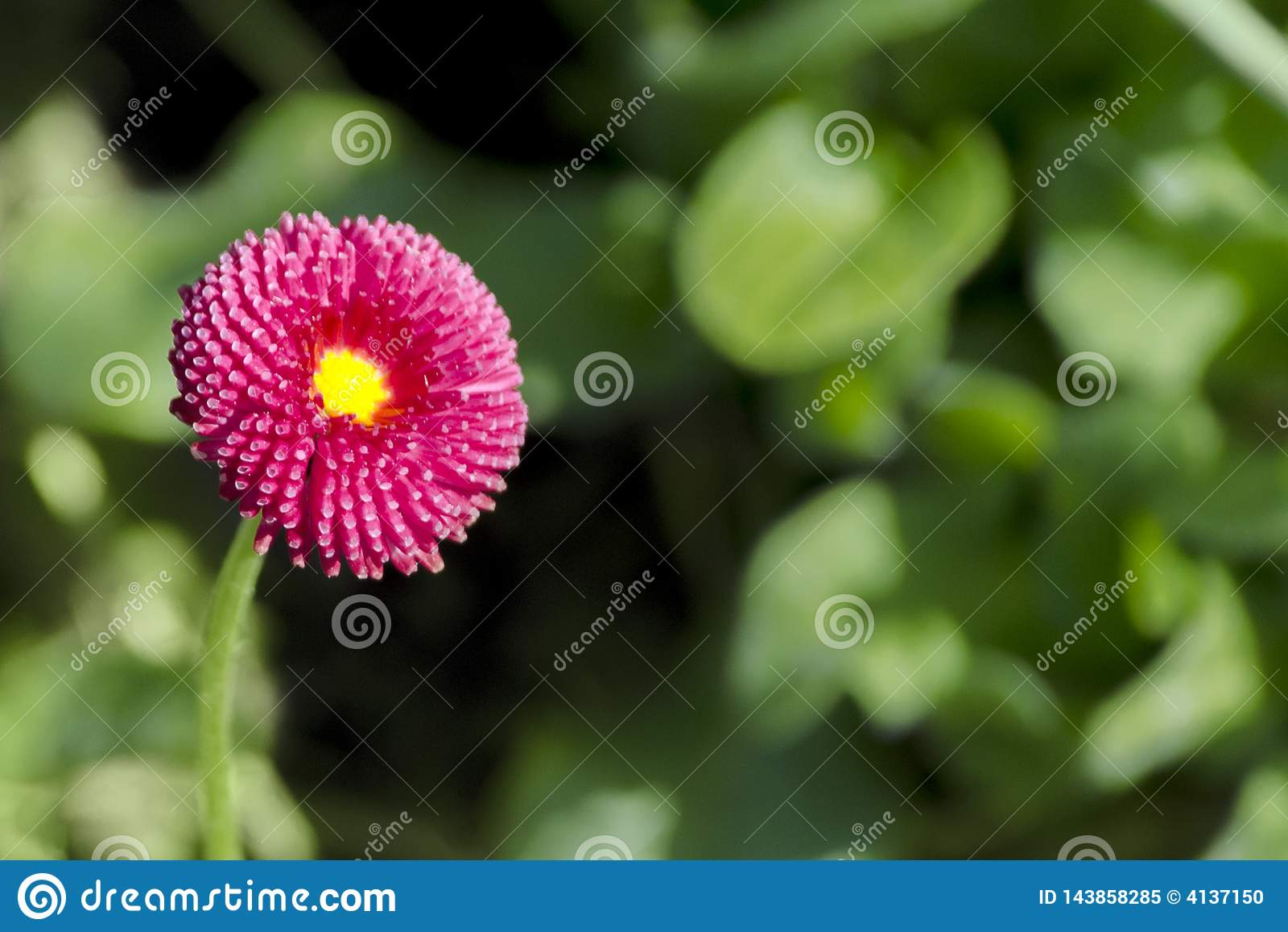 BlommaDaisy Bellis för Closeup magentafärgade perennis på en bakgrund av gröna sidor i trädgård