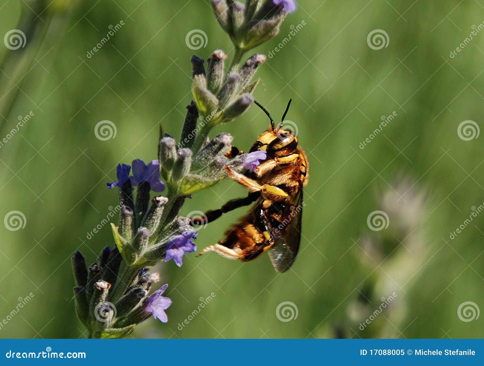Blommalavendelwasp