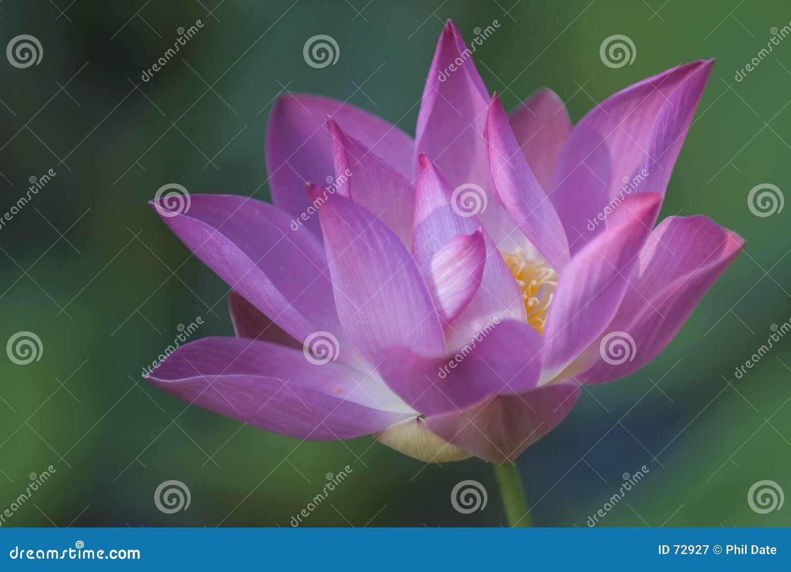 Blommalotusblomma