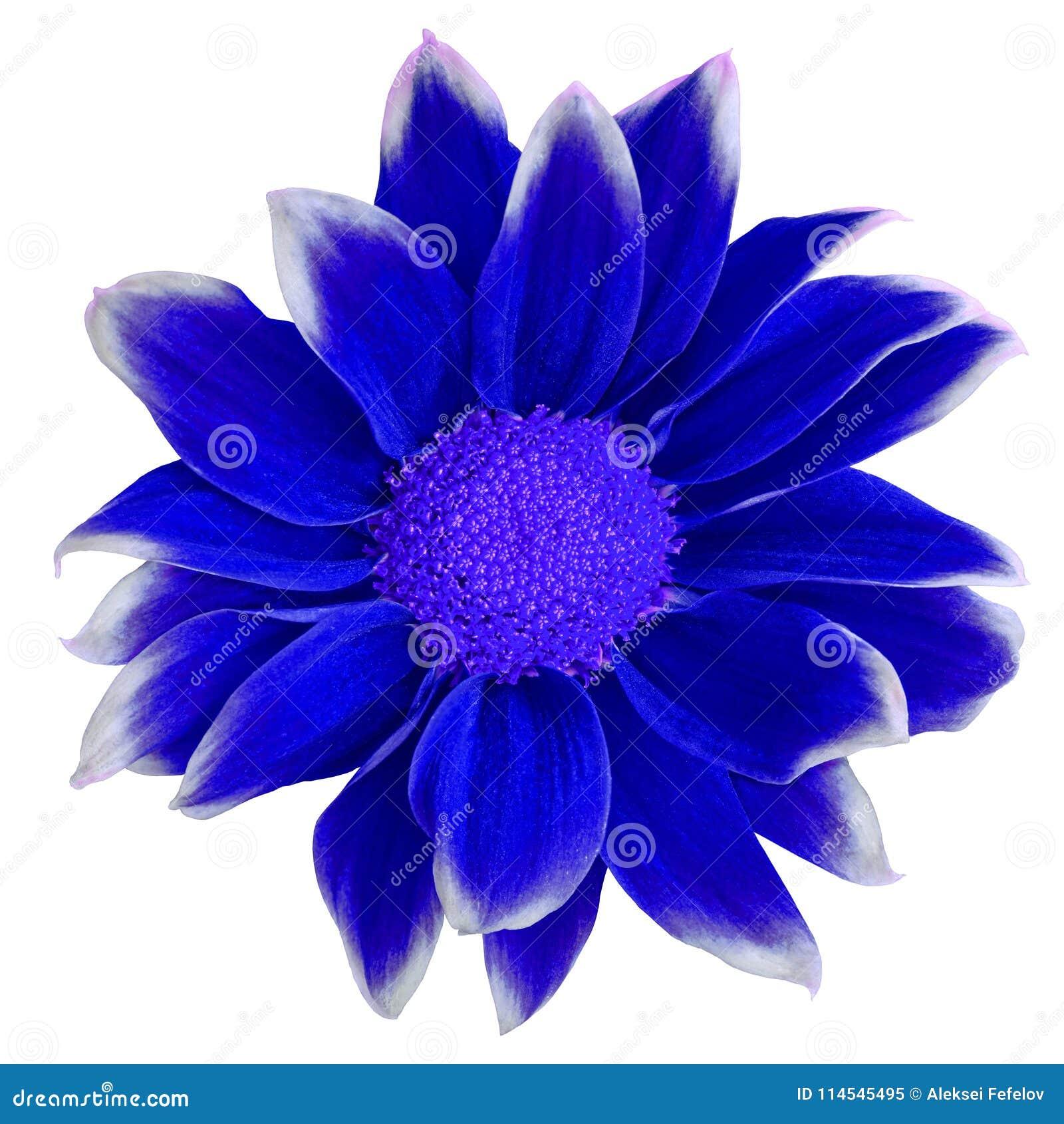 Blommamörker - blå vit krysantemum som isoleras på vit bakgrund Närbild element för klockajuldesign