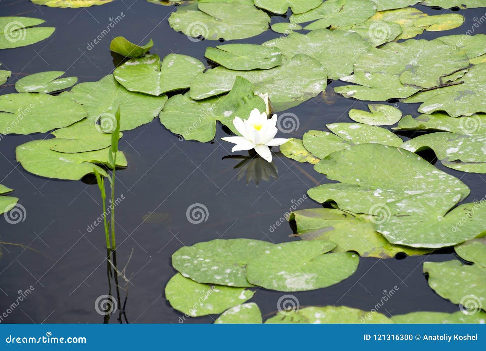 Blomman av den vita kubyshen i den gamla pripyaten Reflexionen bevattnar in lilly water