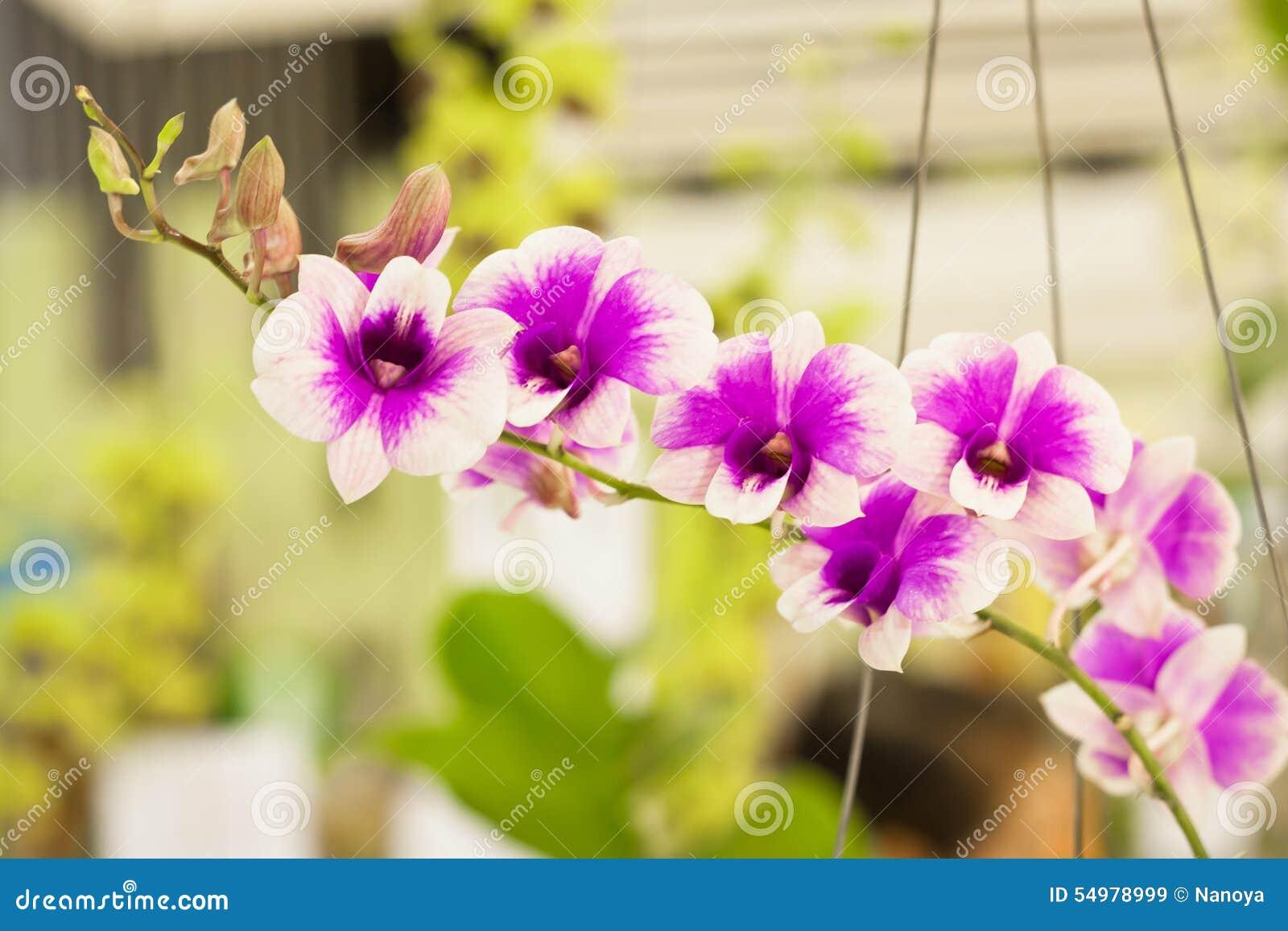 Blomman blommar orchidorchidsphalaenopsis