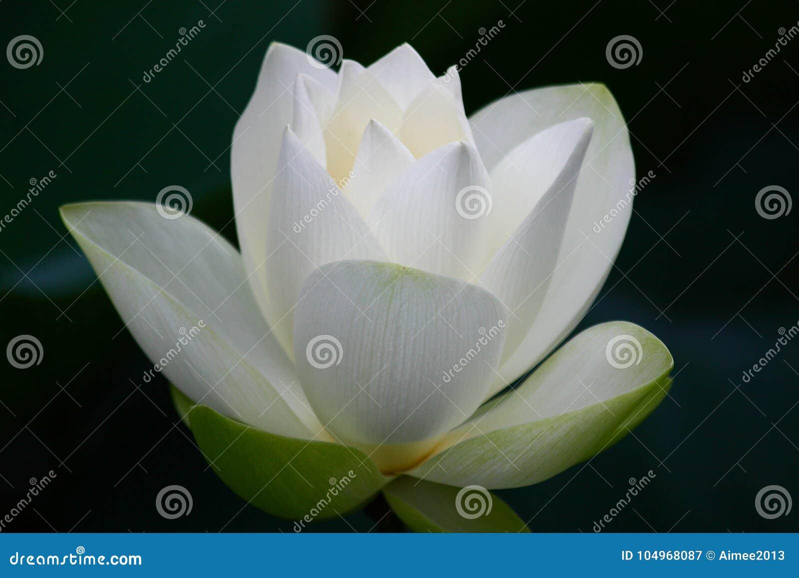 Blomman har vattenfärger för bild för I-lotusblomma jag själv vita målade
