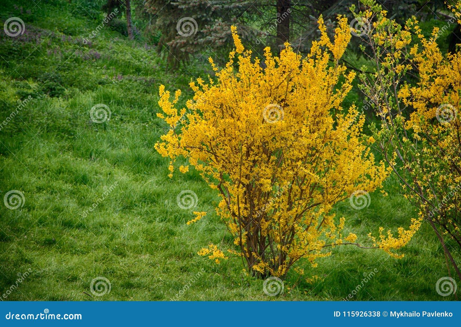Blommande forsythia i den tidiga våren, guling blommar