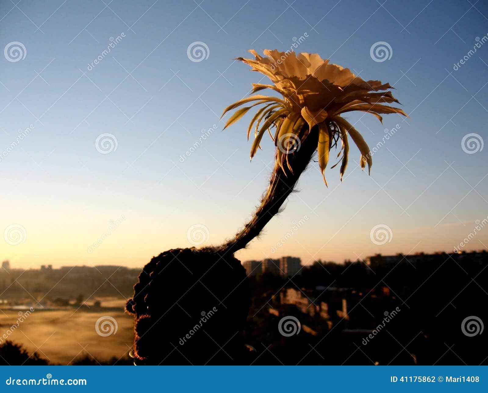 Blommande kaktus för kaktuskontur på soluppgång/solnedgången
