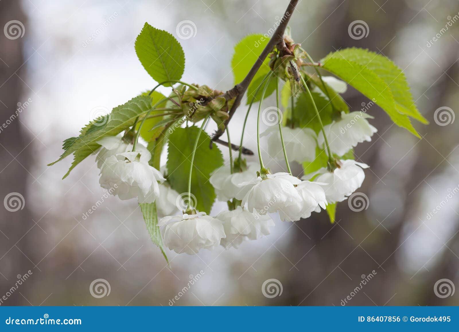 Blommande kinesisk äpplefilial med vita blommor och gräsplansidor crabappleträd, closeup för Malusprunifoliafruktträd
