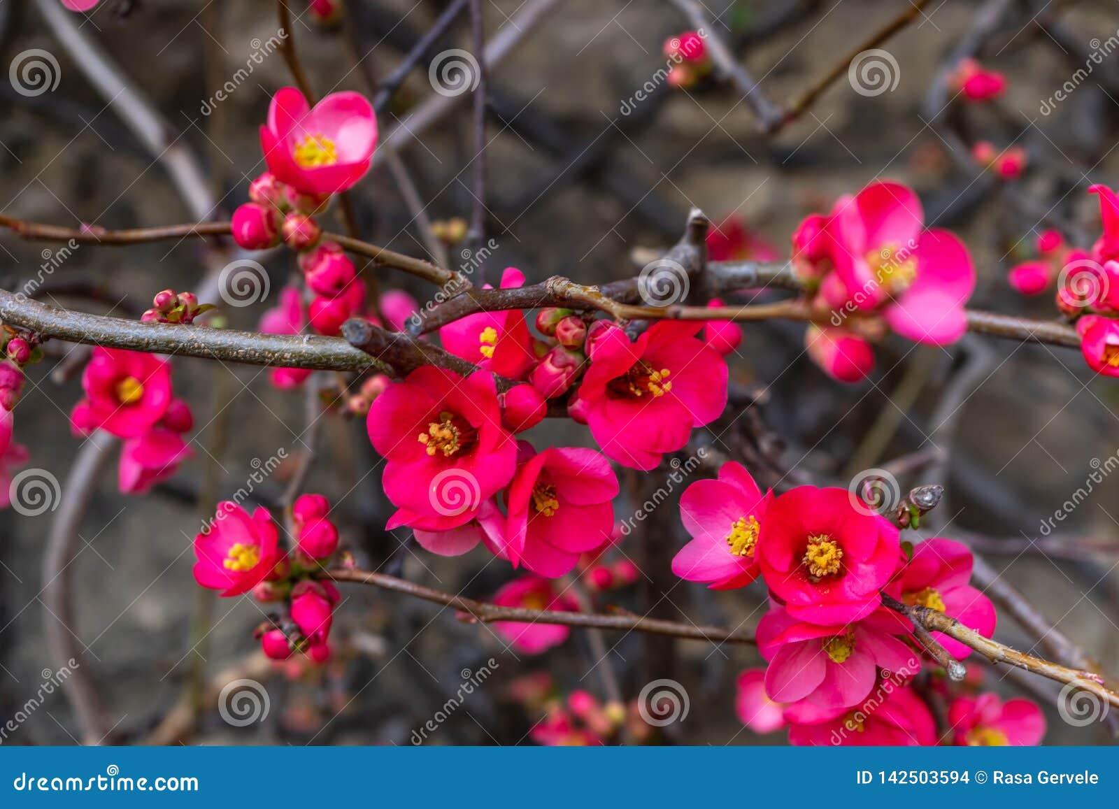 Blommande lös plommon Rosa Petal Tidig vår i England
