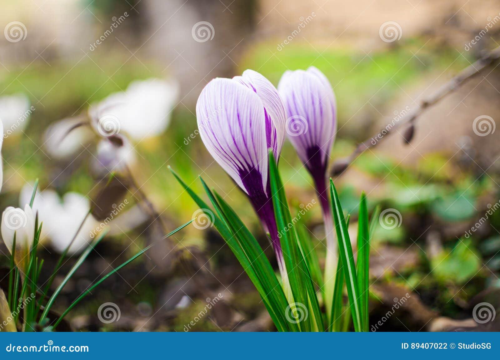 e80aa542b530 Blommande lila krokus tulpan för fjäder för fokus för blomma för  bakgrundskant avlägsen