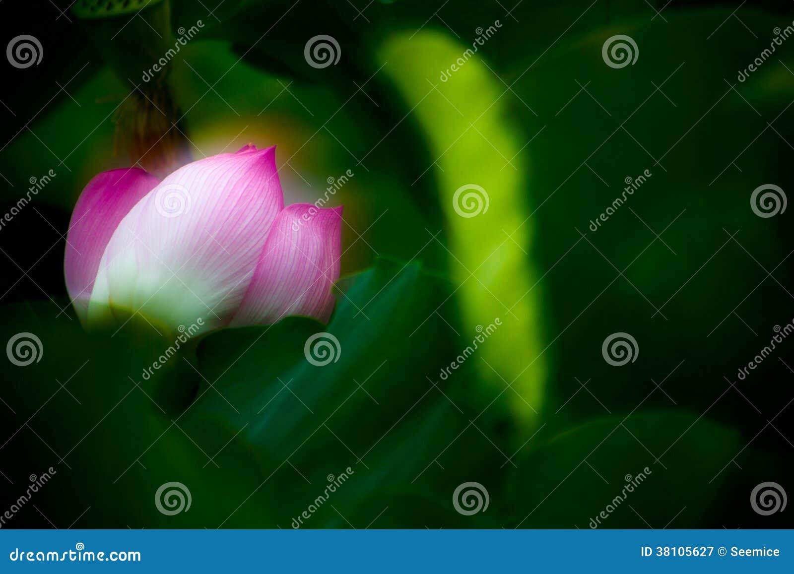 Blommande lotusblomma