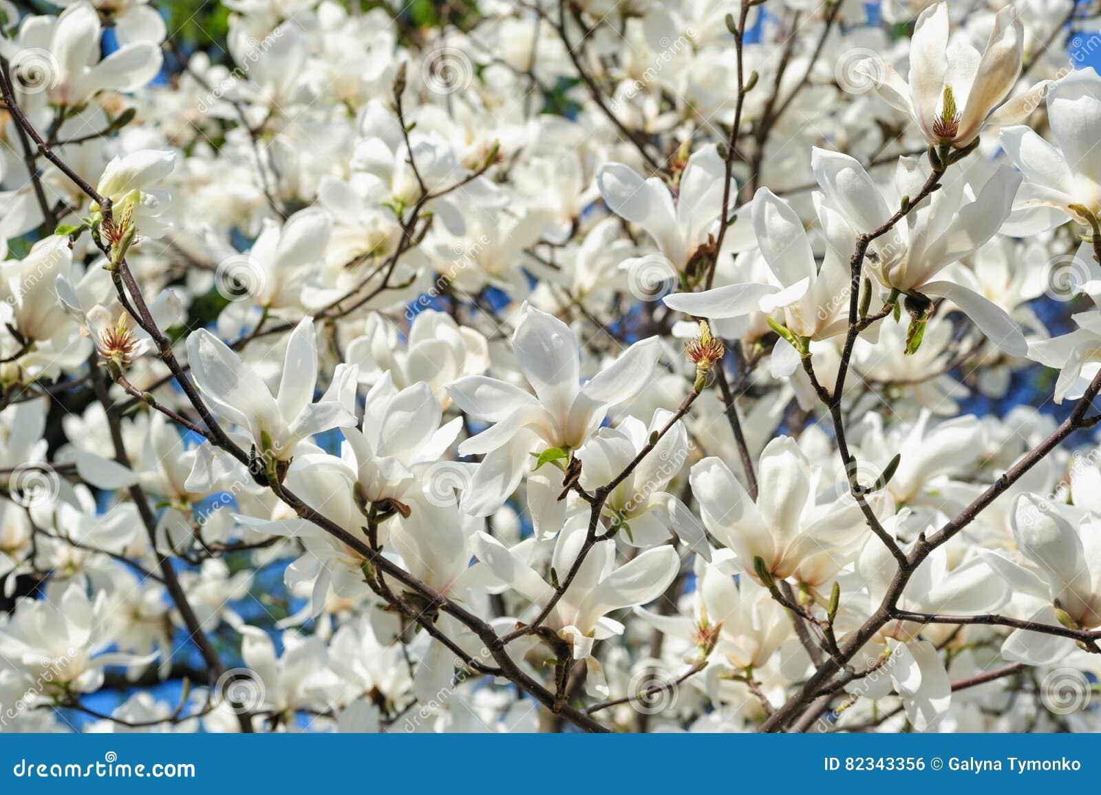 Blommande magnoliaträd i vårträdgård