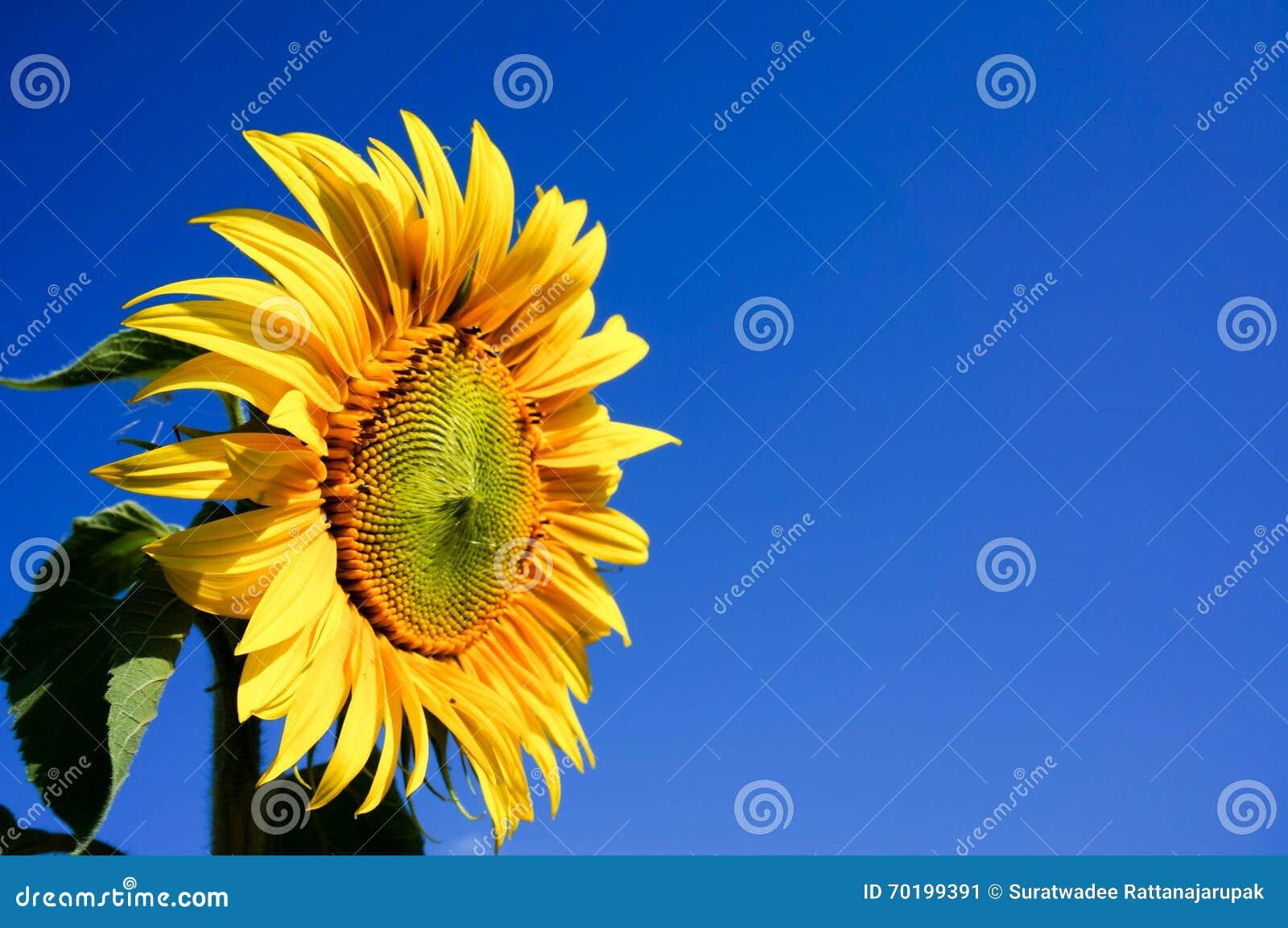 Blommande och blå himmel för solros i bakgrund