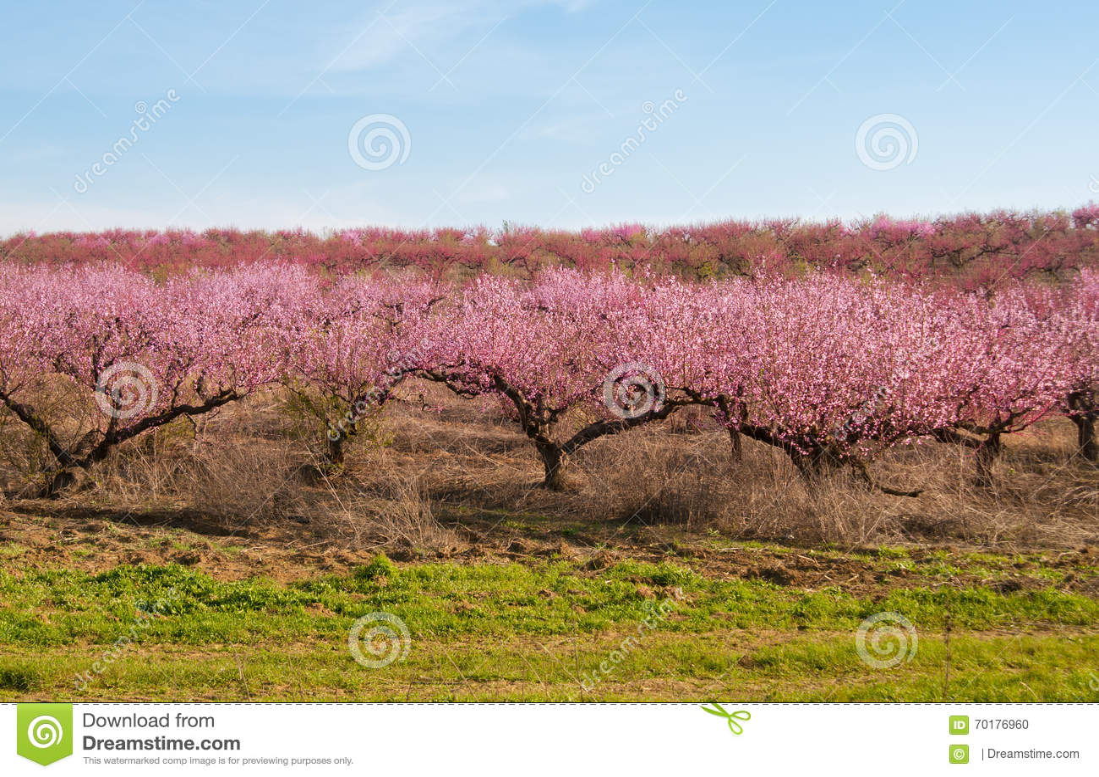 Blommande persikarosa färgblommor
