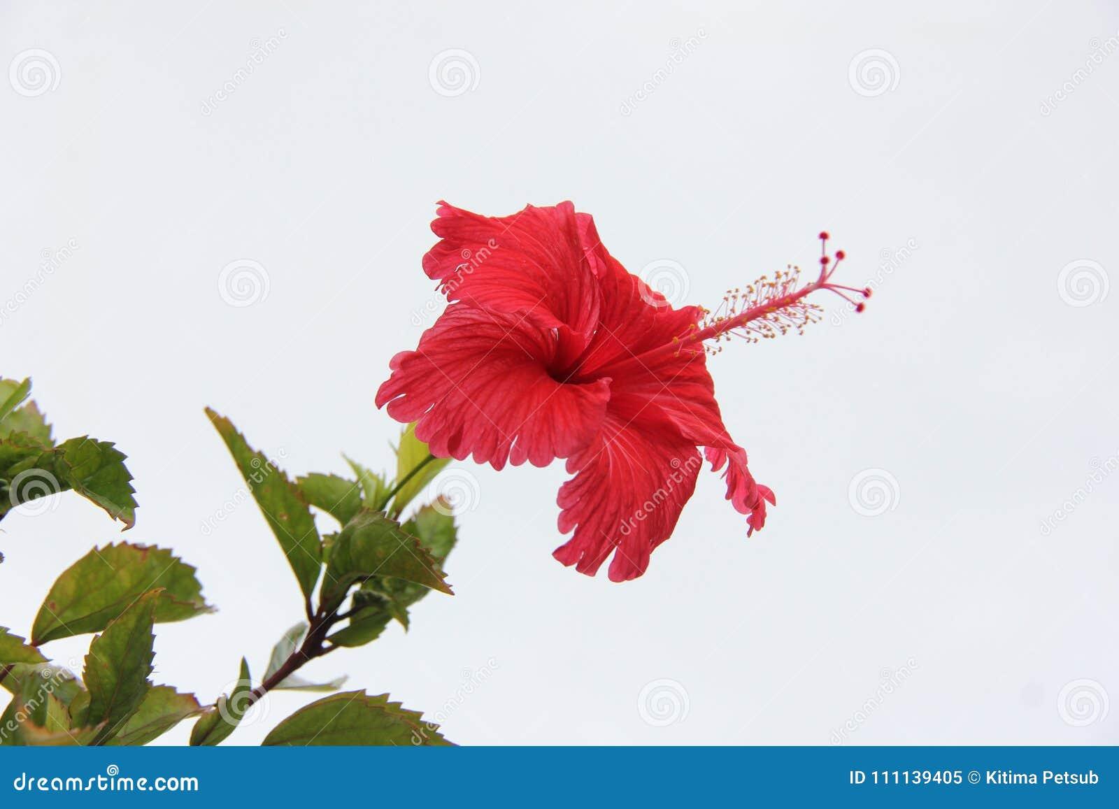 Blommande röda skor blomma eller kines steg