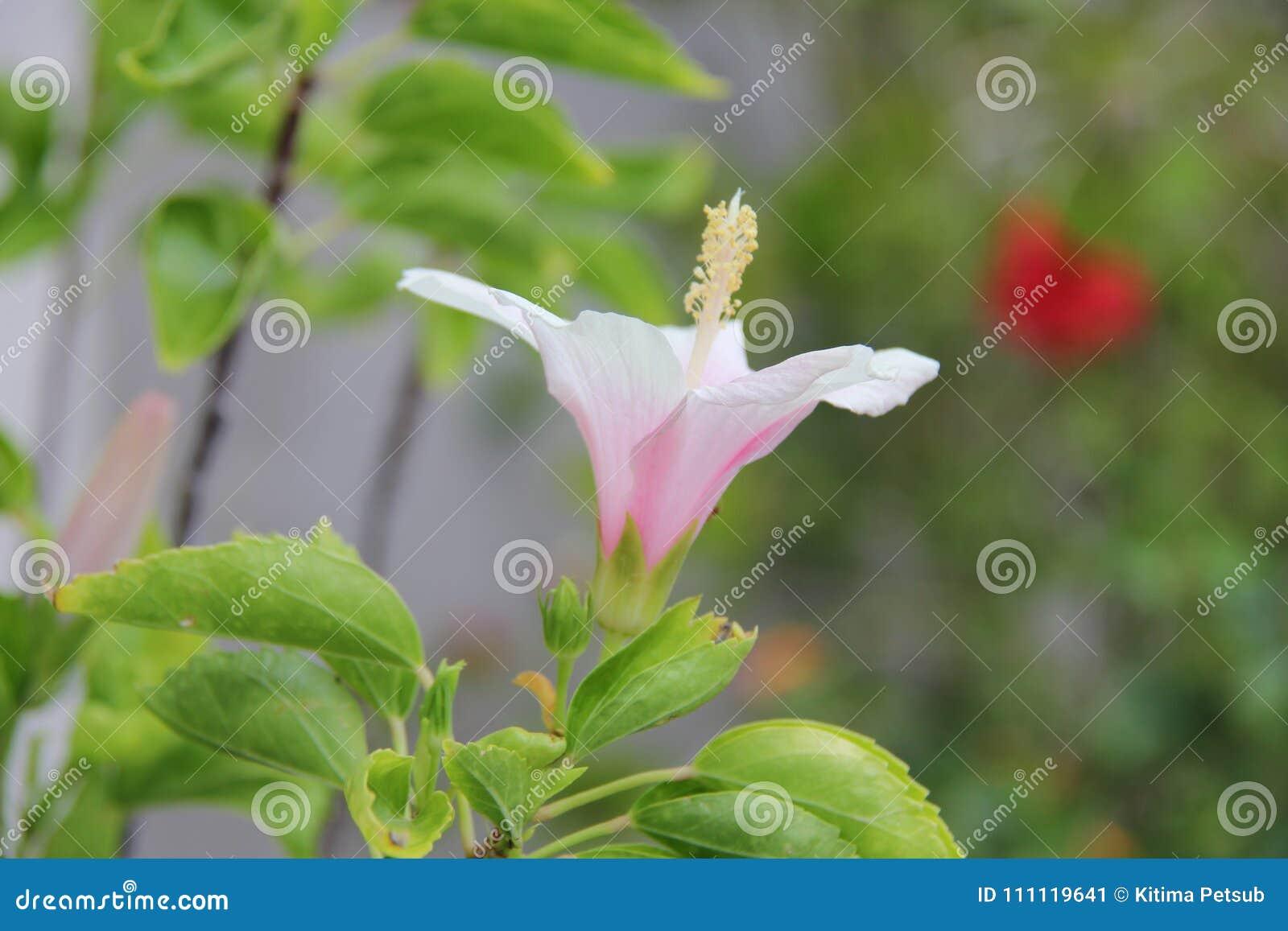 Blommande rosa skor blomma eller kines steg