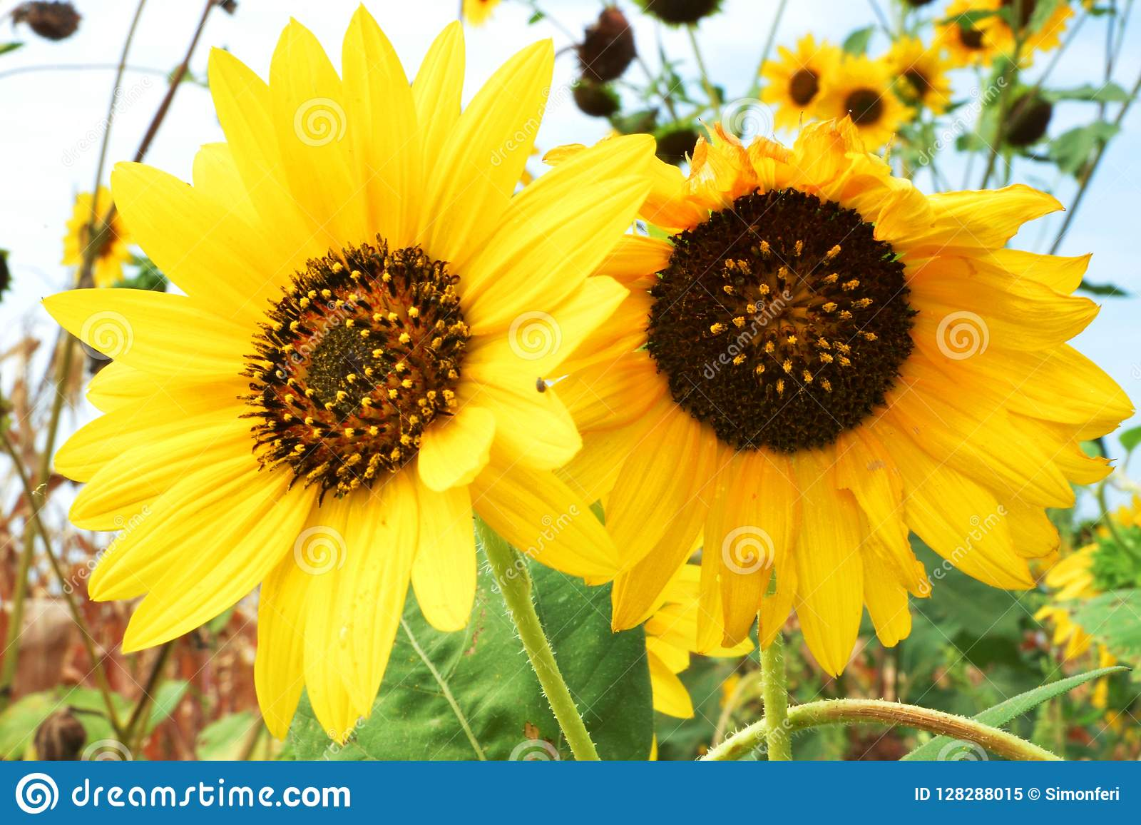 Blommande solrosor i September