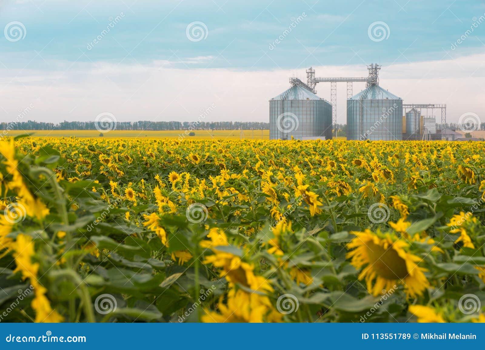 Blommande solrosor och hissen