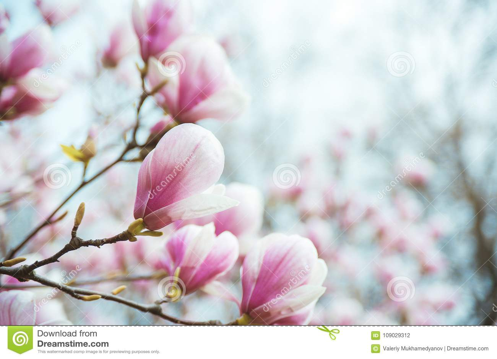 Blommande träd för magnolia på filial över suddig naturlig bakgrund
