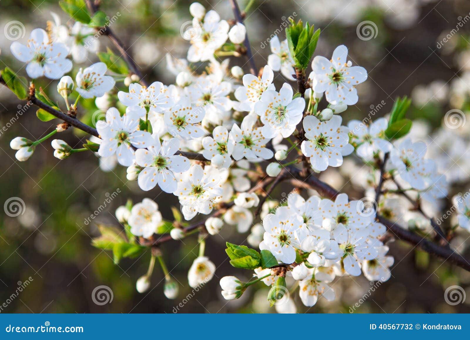 träd vita blommor vår