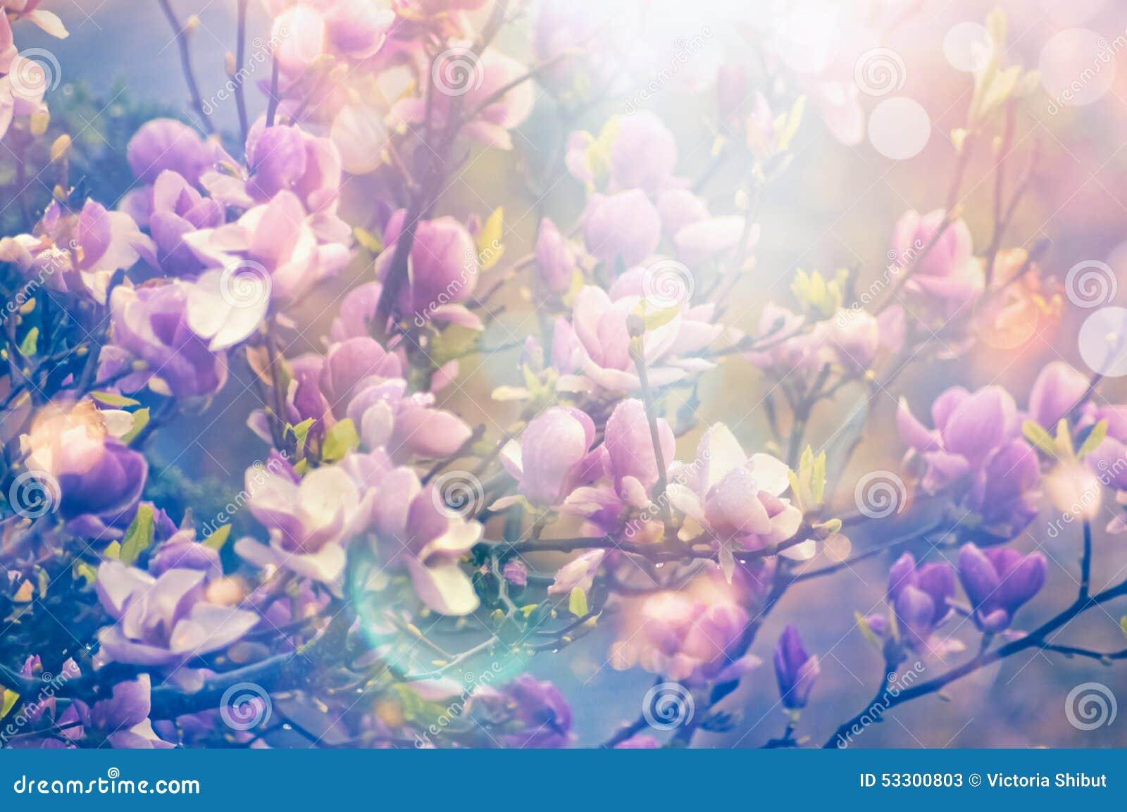 Blommande trädgård för magnoliavår, suddig naturbakgrund med solsken och bokeh