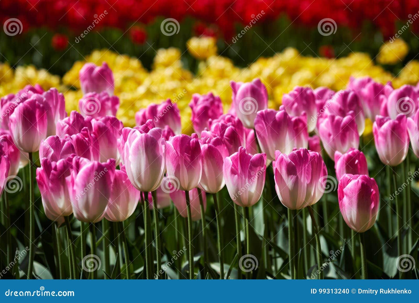 Blommande tulpanblomsterrabatt i den Keukenhof blommaträdgården, Netherland
