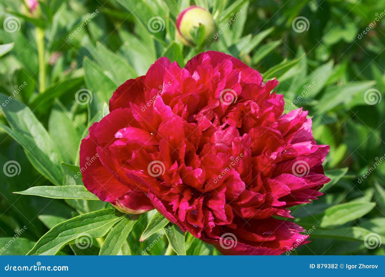 Blommapion