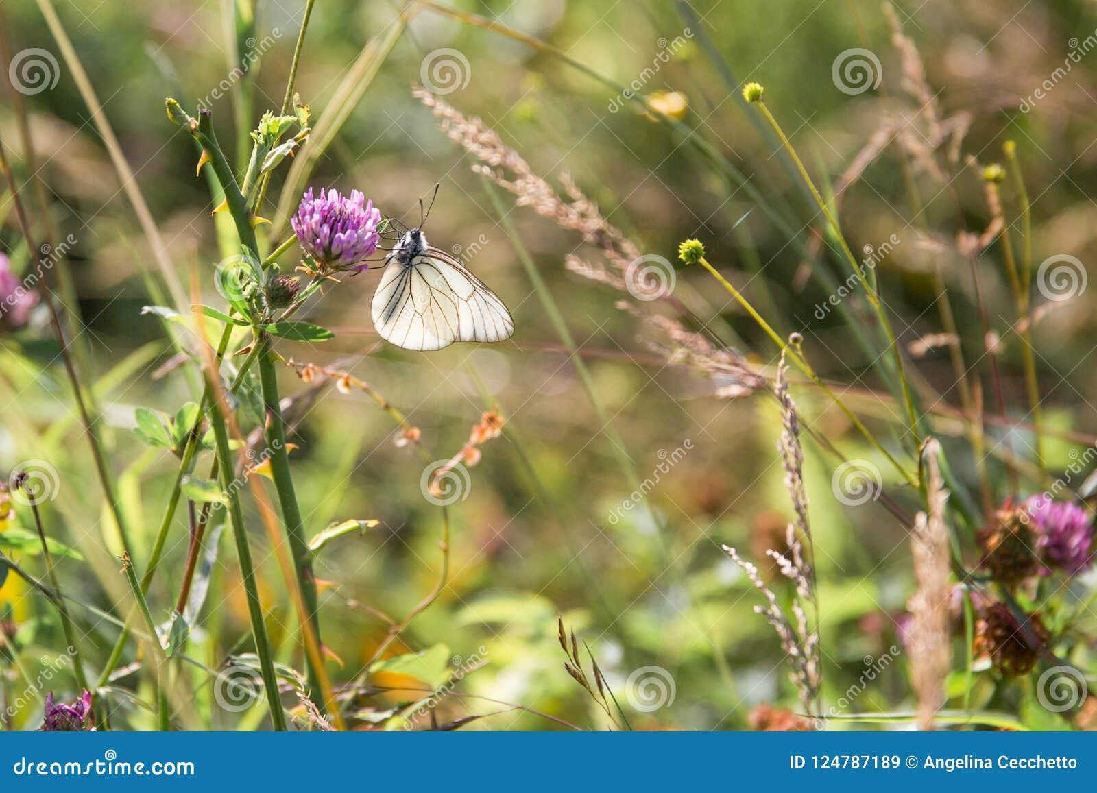 Blommar annalkande pollen för den svartvita fjärilen på lila i G