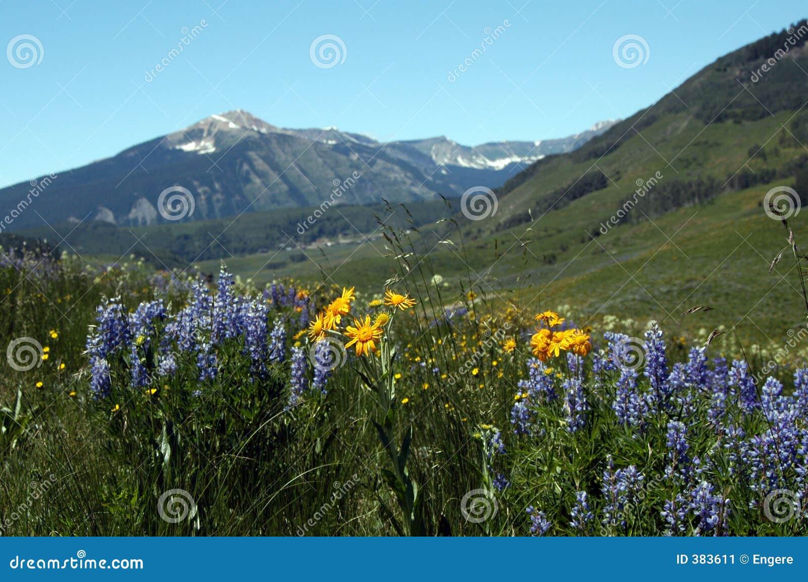 Blommar bergskyen