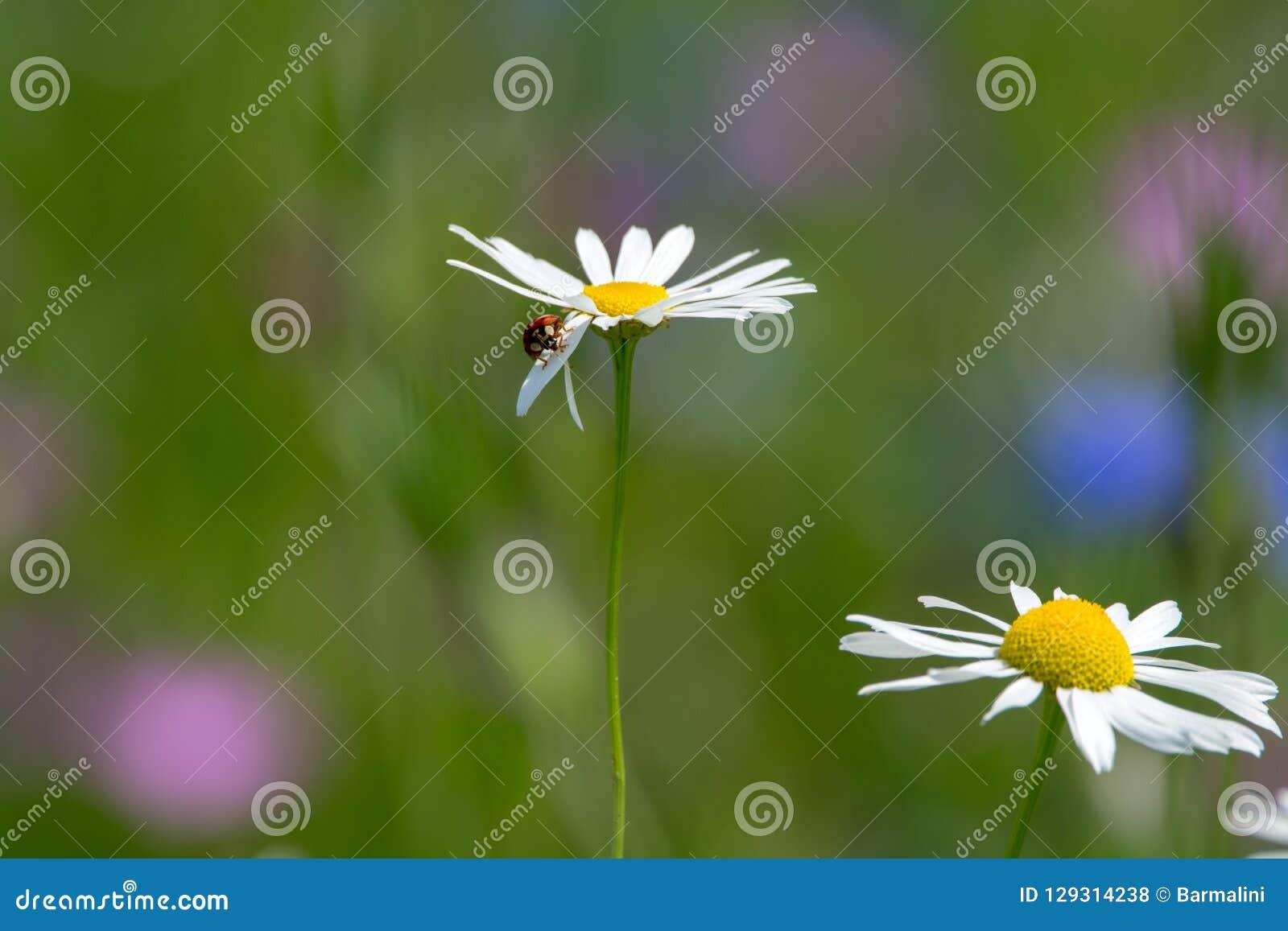 Blommar den färgrika gröna ängen för sommar med det lösa fältet, säsongsbetonat b