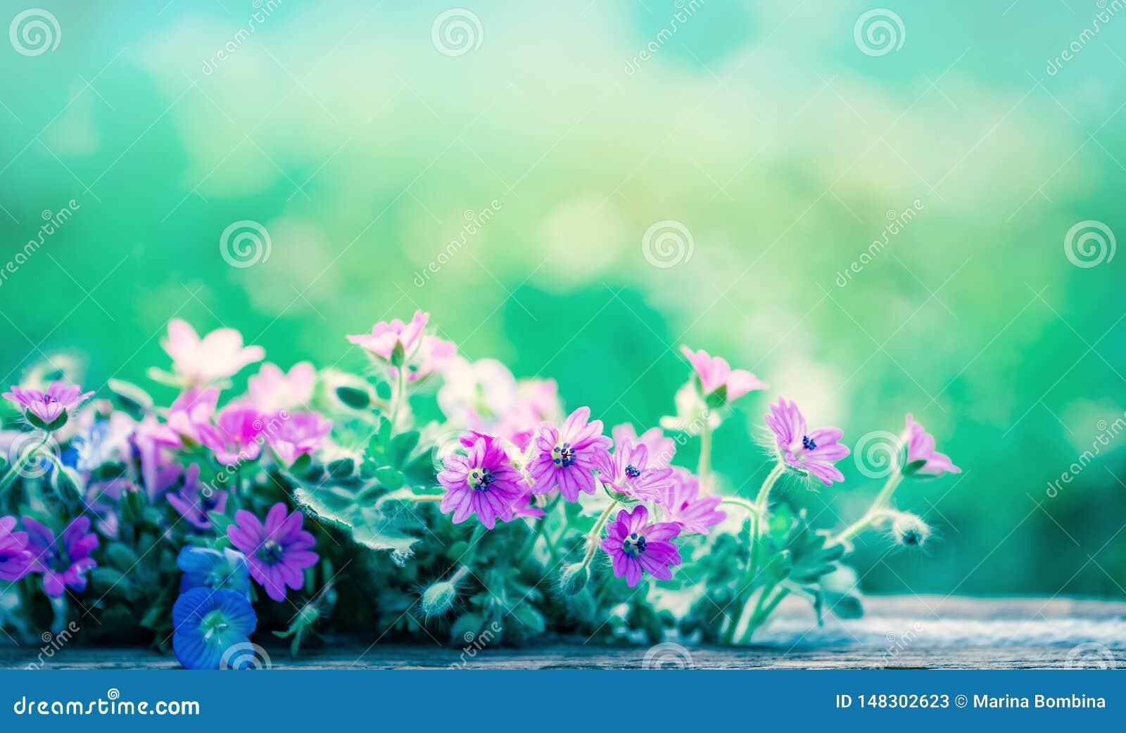 Blommar den l?sa ?ngen f?r v?ren suddig bl? bakgrundshimmel f?r ans med bokeh, makroen, mjuk fokus