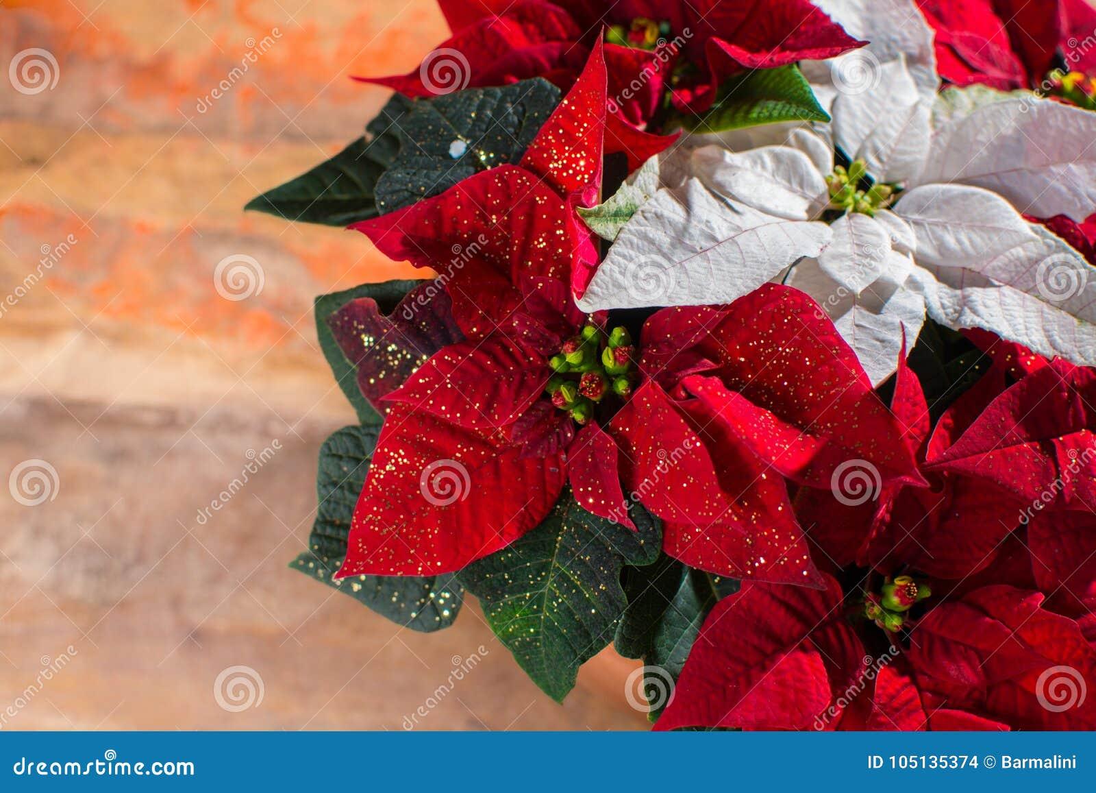 Blommar den röda och vita julstjärnan för julstjärnan, juldekoren