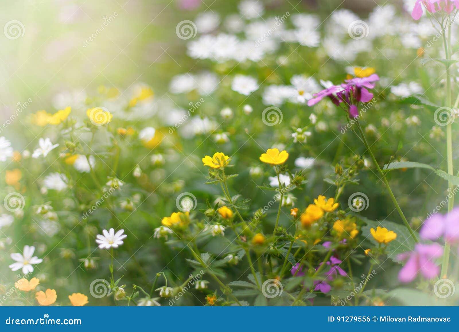 Blommar den wild ängen