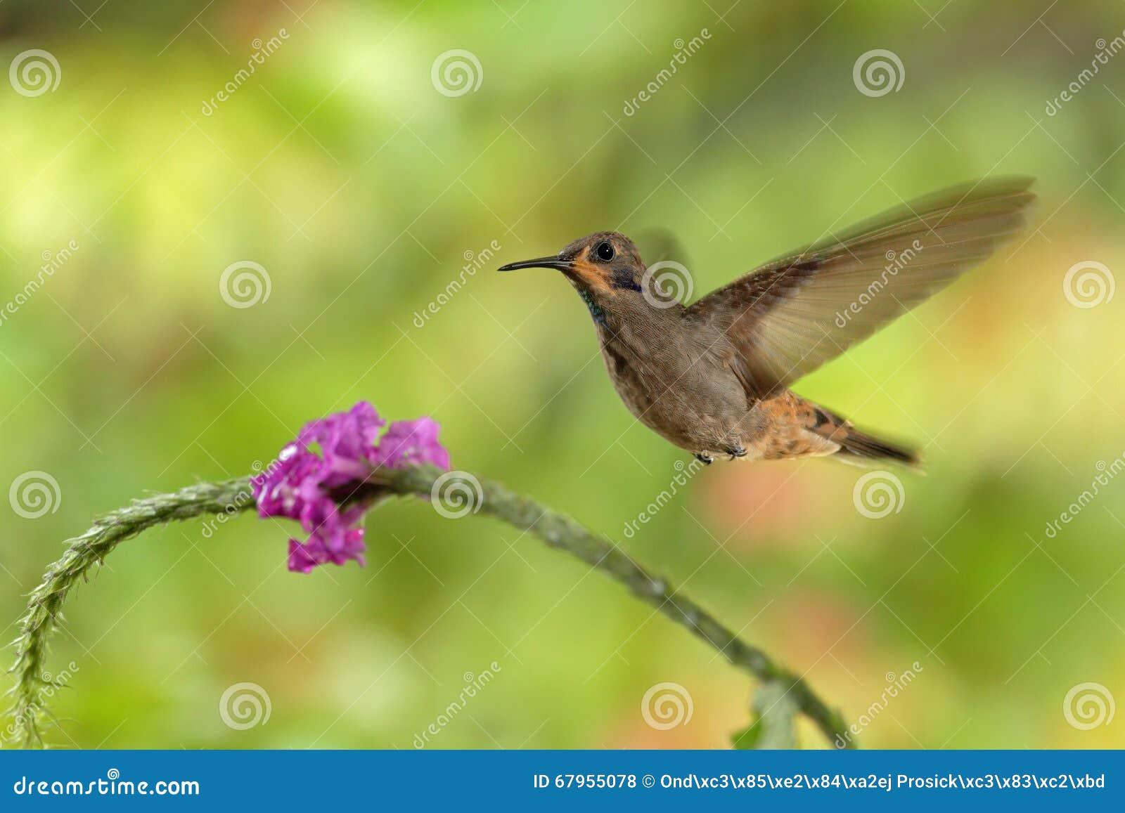 Blommar det bruna Violett-örat för kolibrin, Colibri delphinae som flyger bredvid härliga rosa färger, trevlig blommig apelsingrä