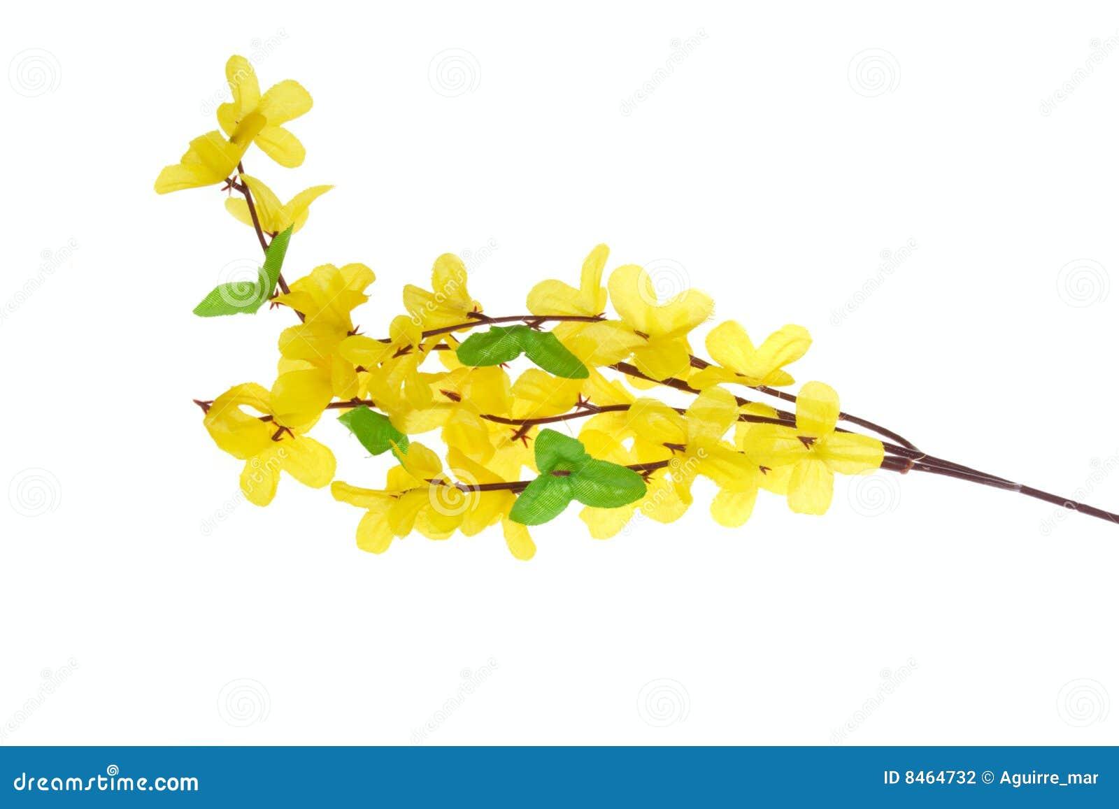 Blommar forsythia