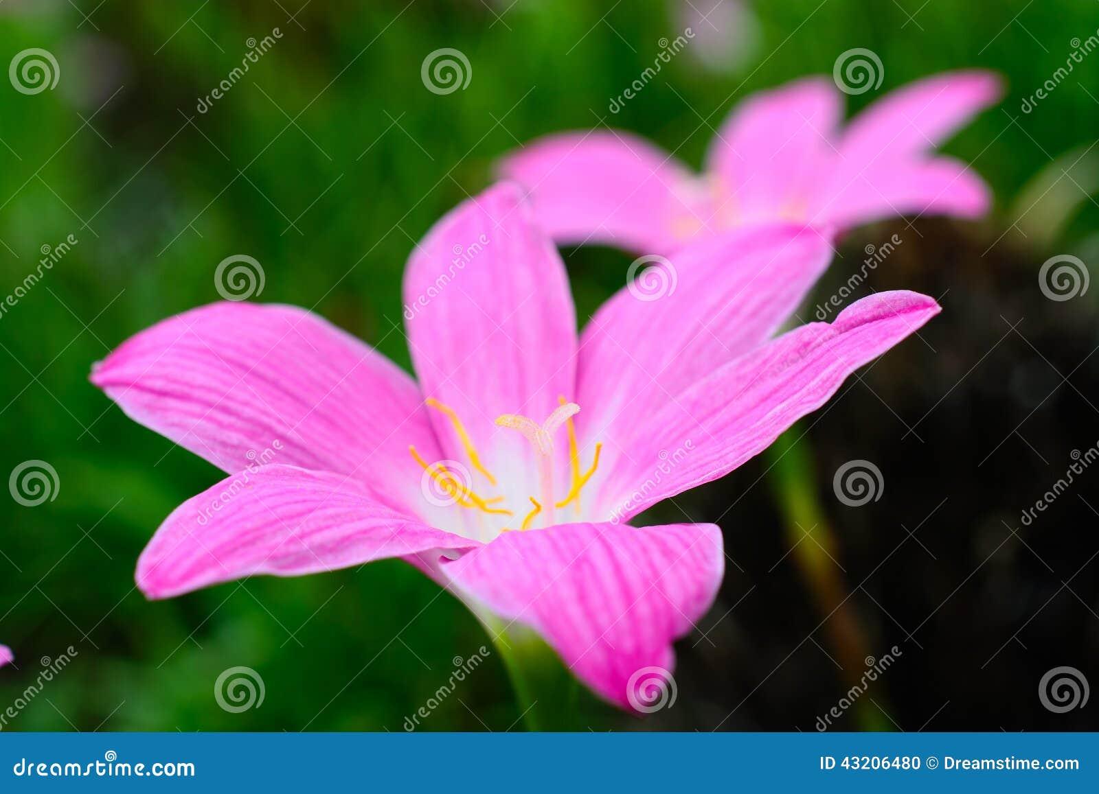 Download Blommar liljapink arkivfoto. Bild av ekologi, natur, blodsugare - 43206480