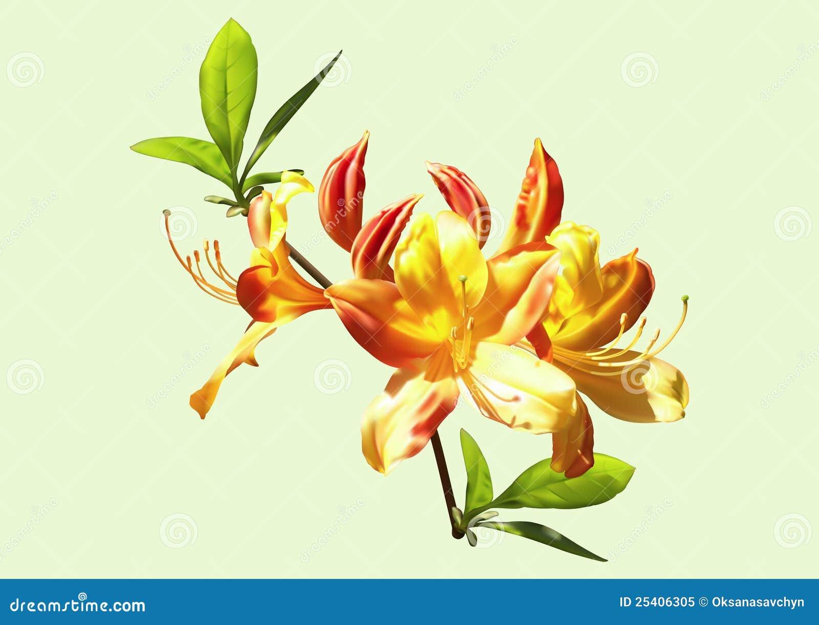 Blommar orange rhododendronyellow