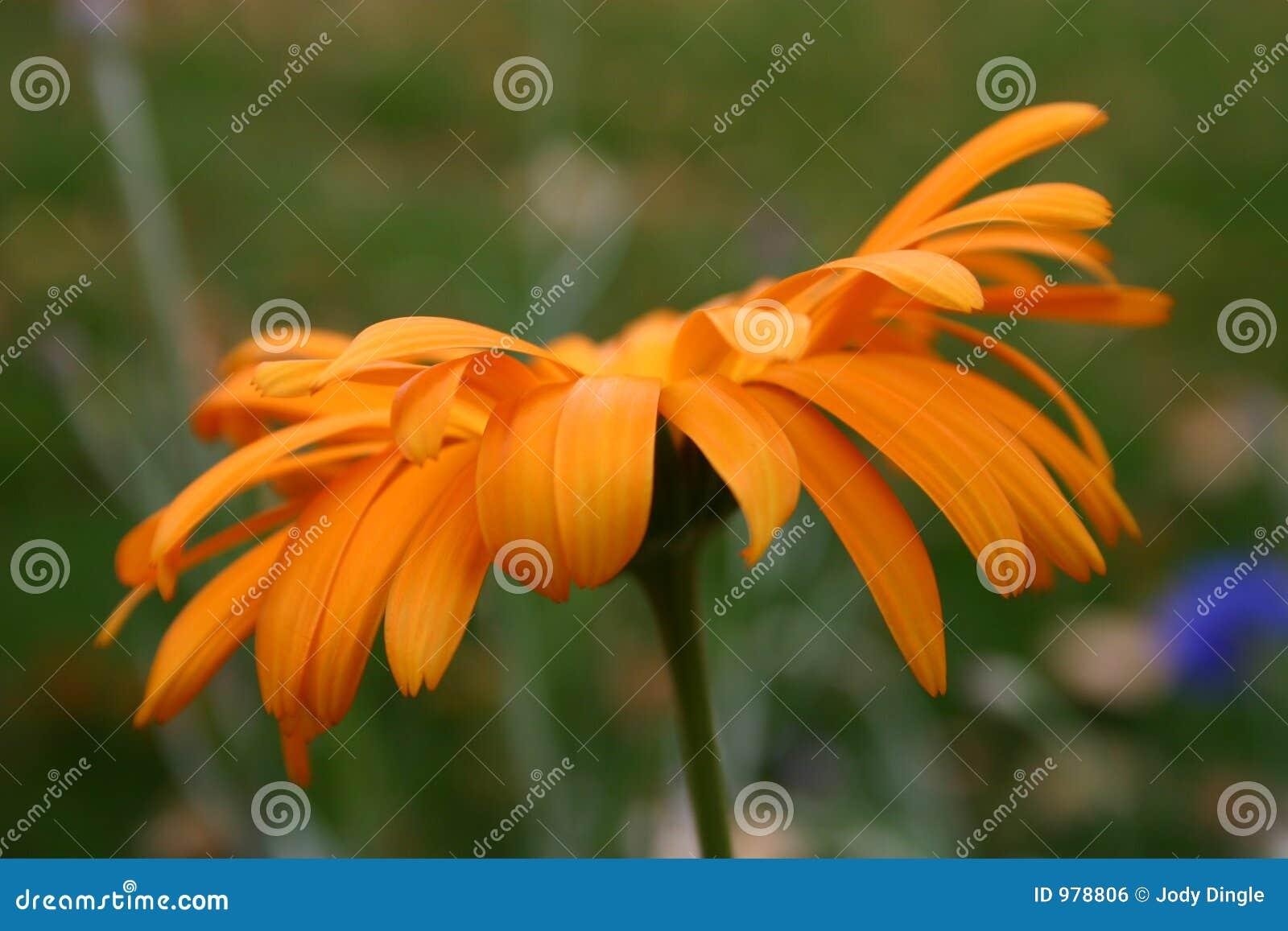 Blommar orangen