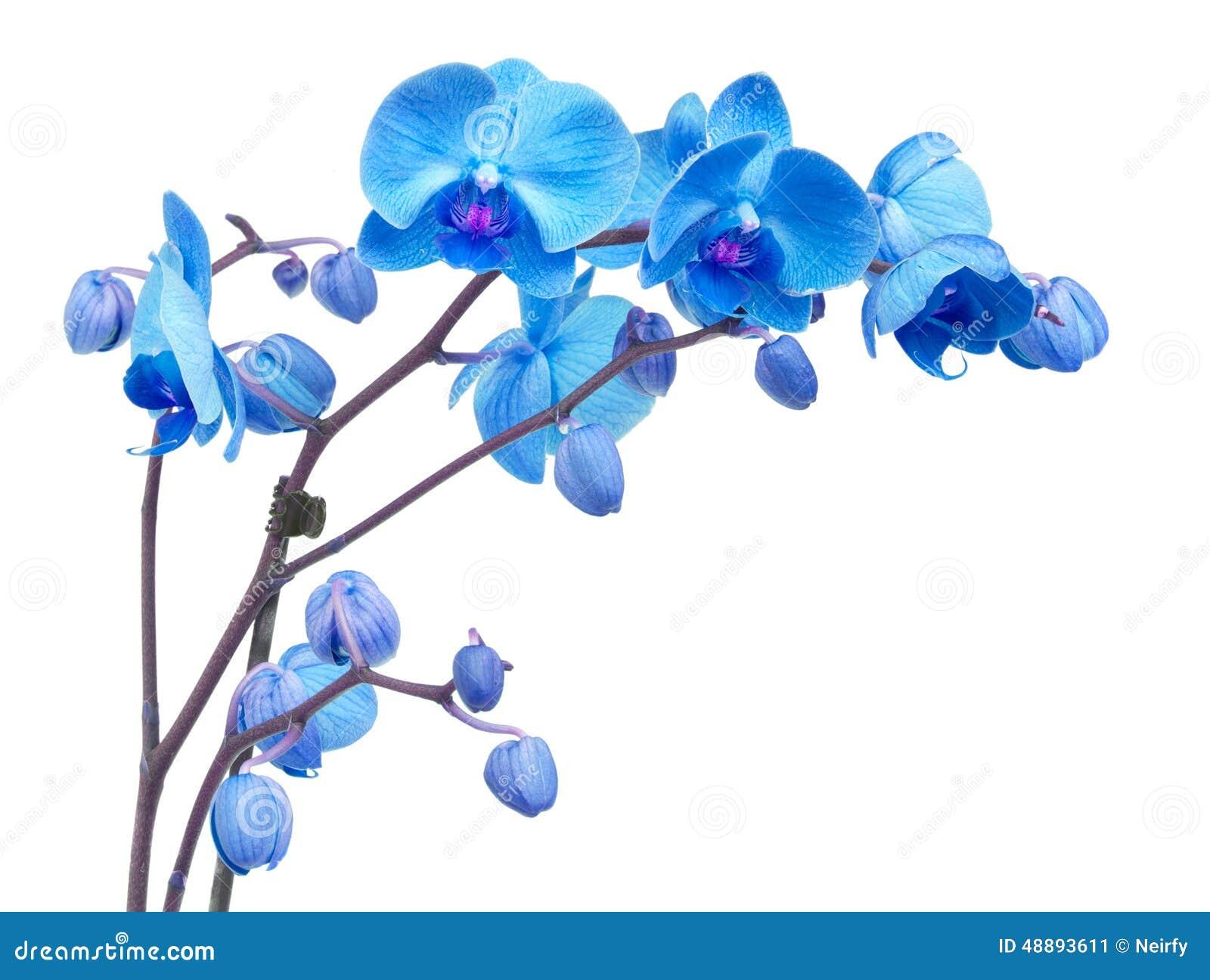 Blommar orchiden