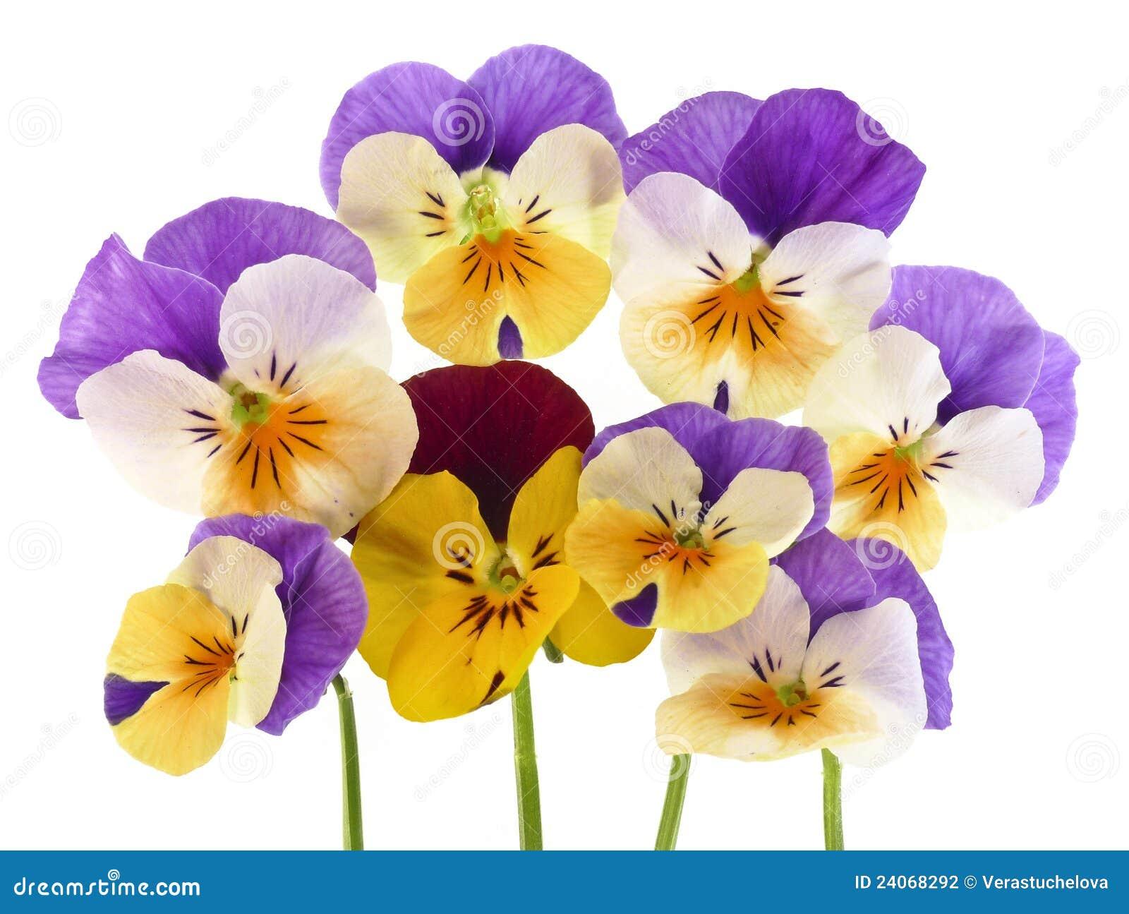 Blommar pansyfjädern