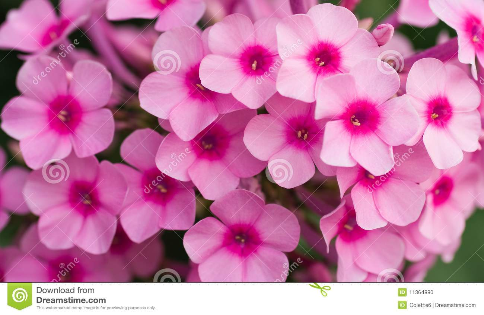 Blommar phloxpink