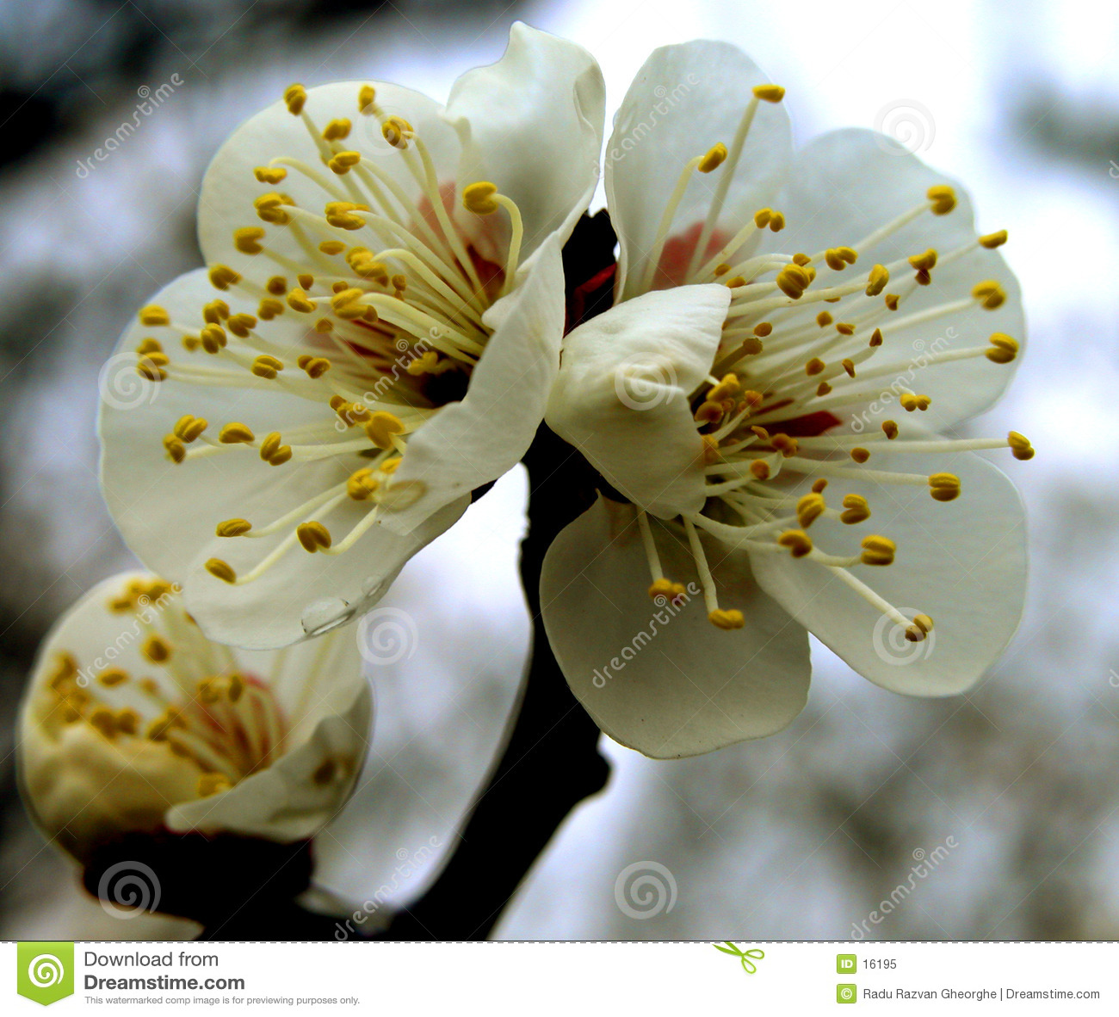 Blommar plommonet