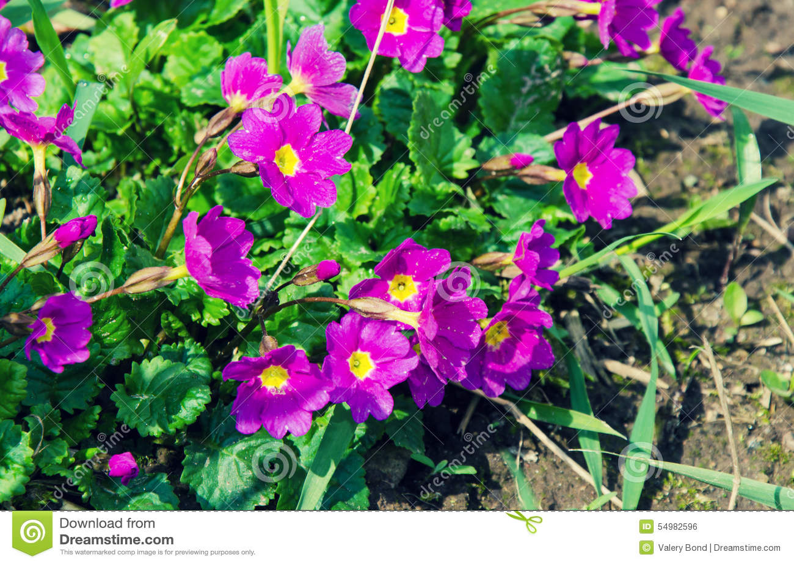 Blommar purple