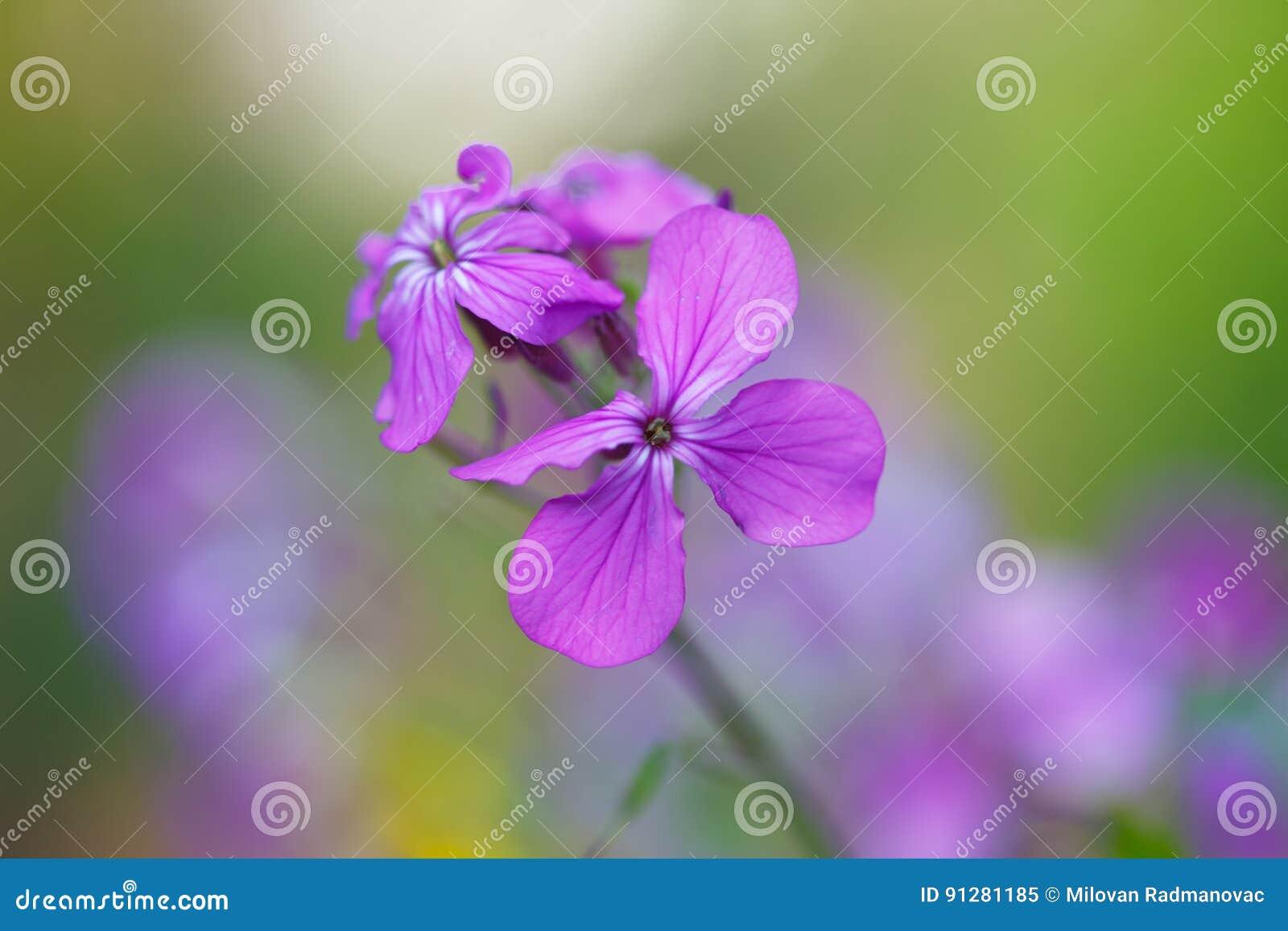 Blommar purpurt wild