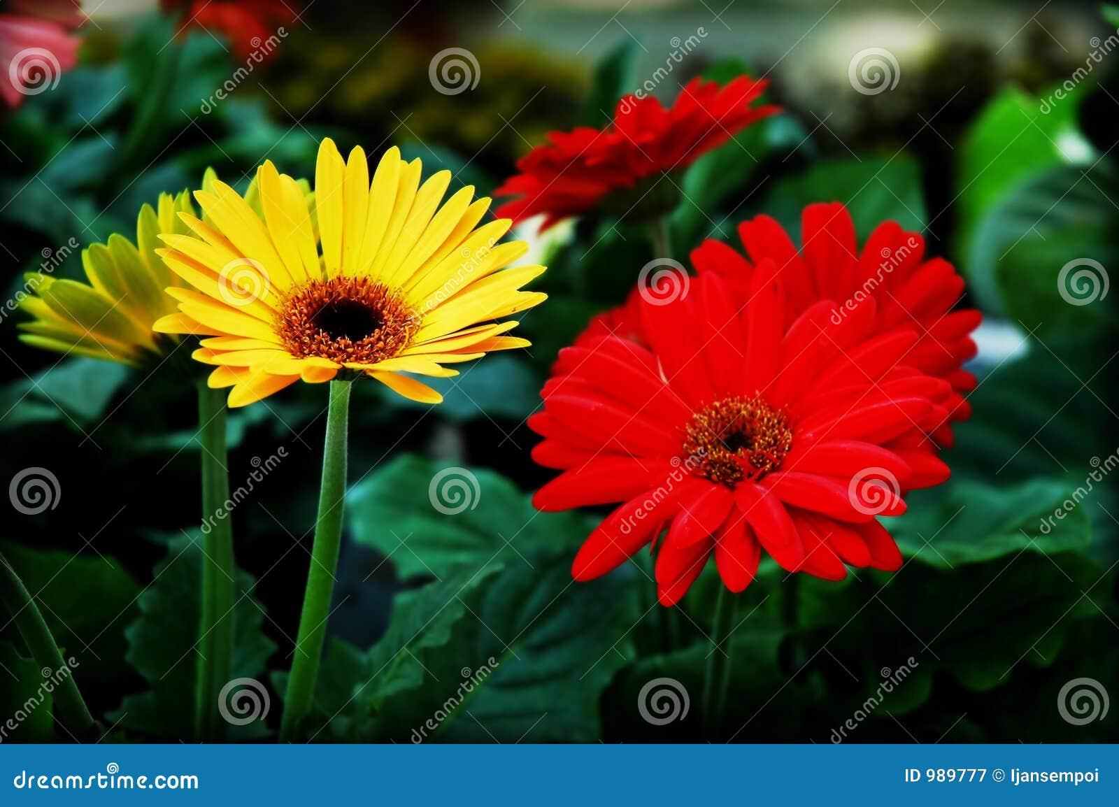 Blommar röd yellow